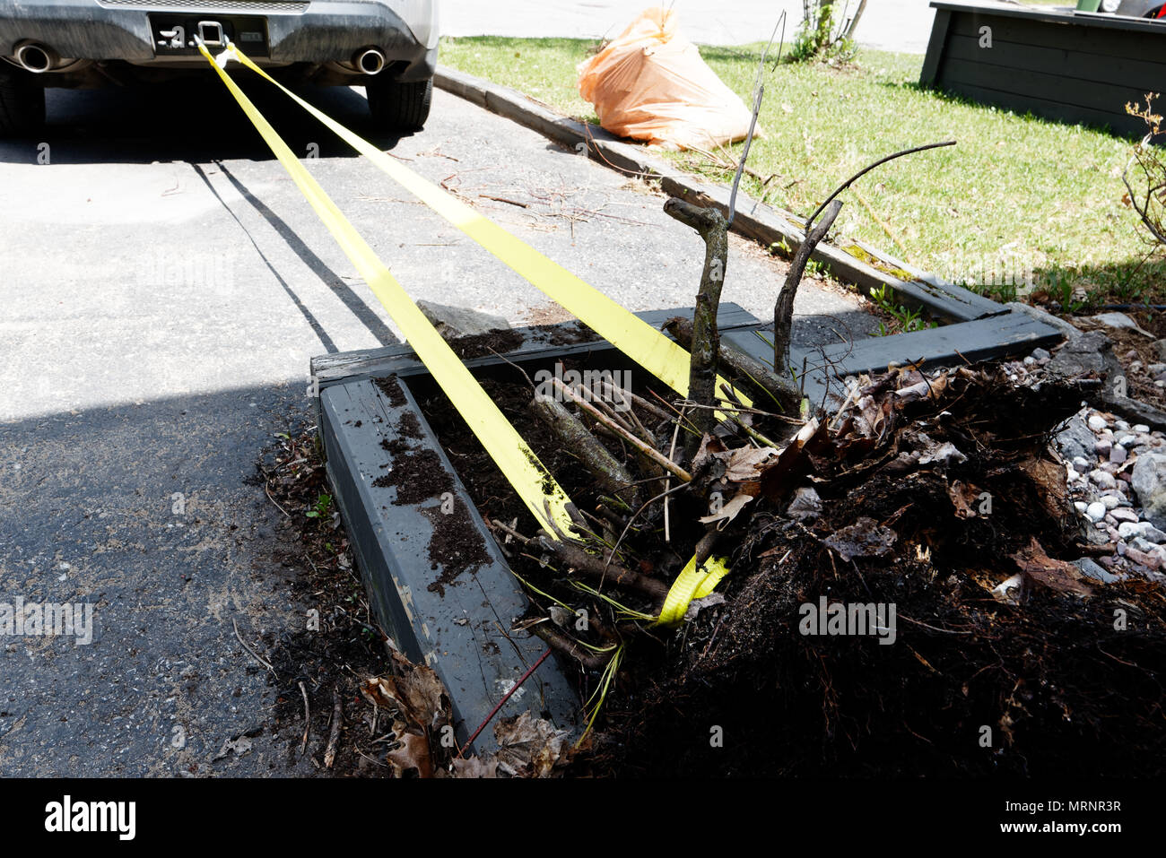 uprooting-a-stubborn-bush-by-pulling-it-with-a-car-MRNR3R.jpg