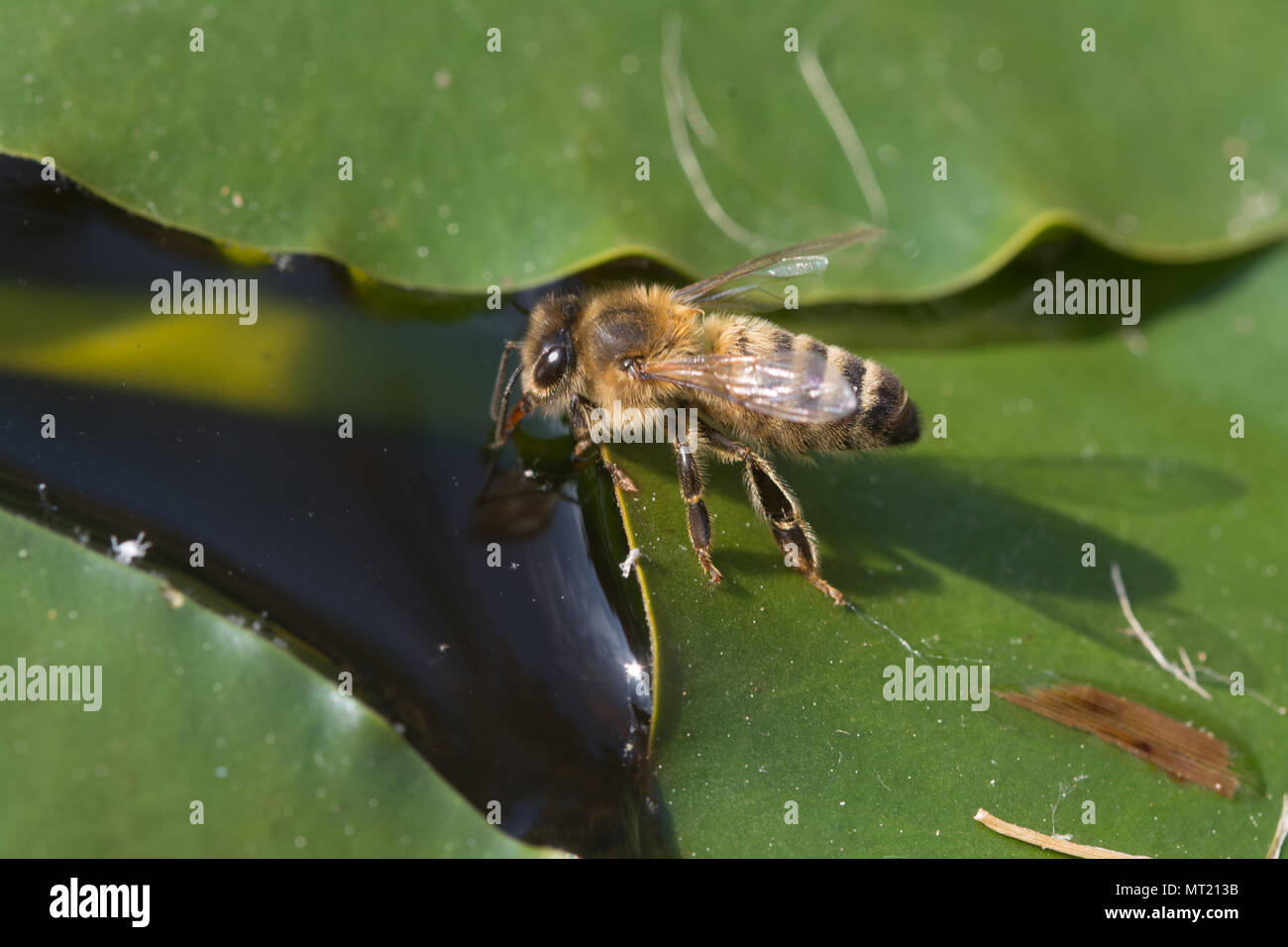 honey-bee-apis-on-a-lily-pad-drinking-water-from-a-garden-pond-garden-wildlife-insect-insects-bees-MT213B.jpg