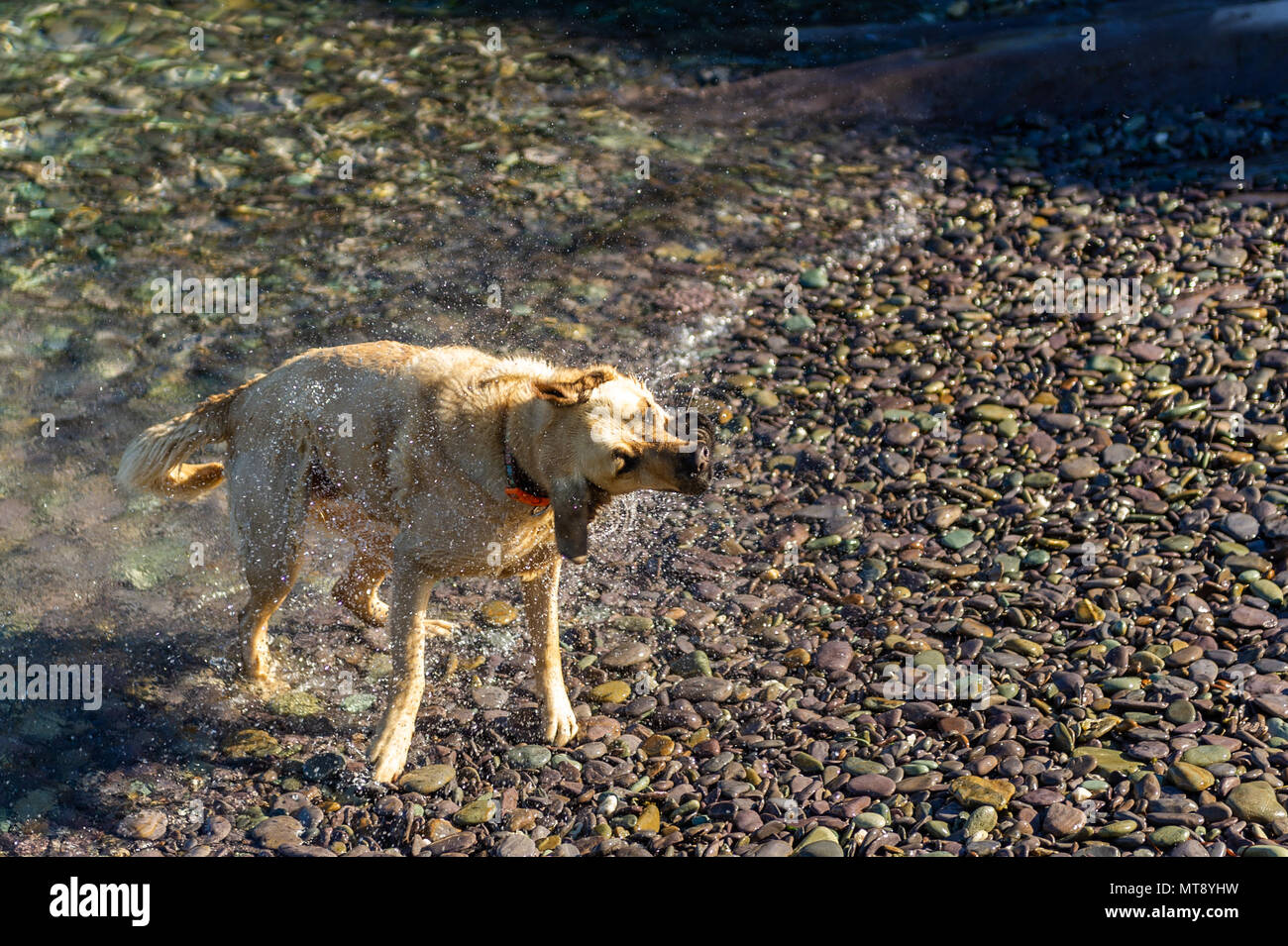 Schull, Ireland. 28th May, 2018.  A dog shakes after a swim in the water in Schull on a blisteringly hot day in Schull. Met Éireann has forecast a warm evening with hazy sunshine and the odd shower with lows of 10 to 14 C. Credit: Andy Gibson/Alamy Live News. Stock Photo