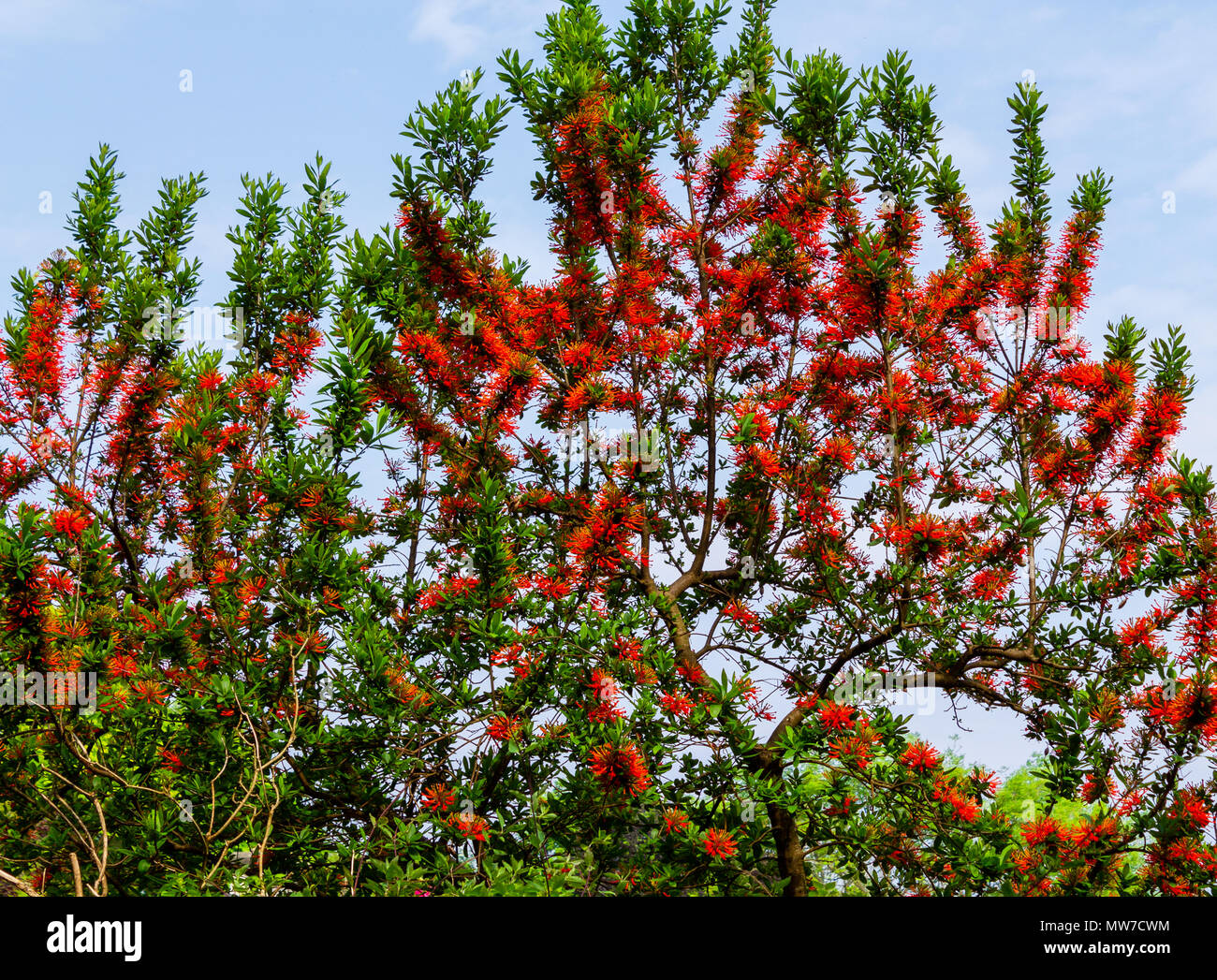 embothrium-coccineum-chilean-fire-bush-or-chilean-fire-tree-in-full-flower-in-early-summer-MW7CWM.jpg