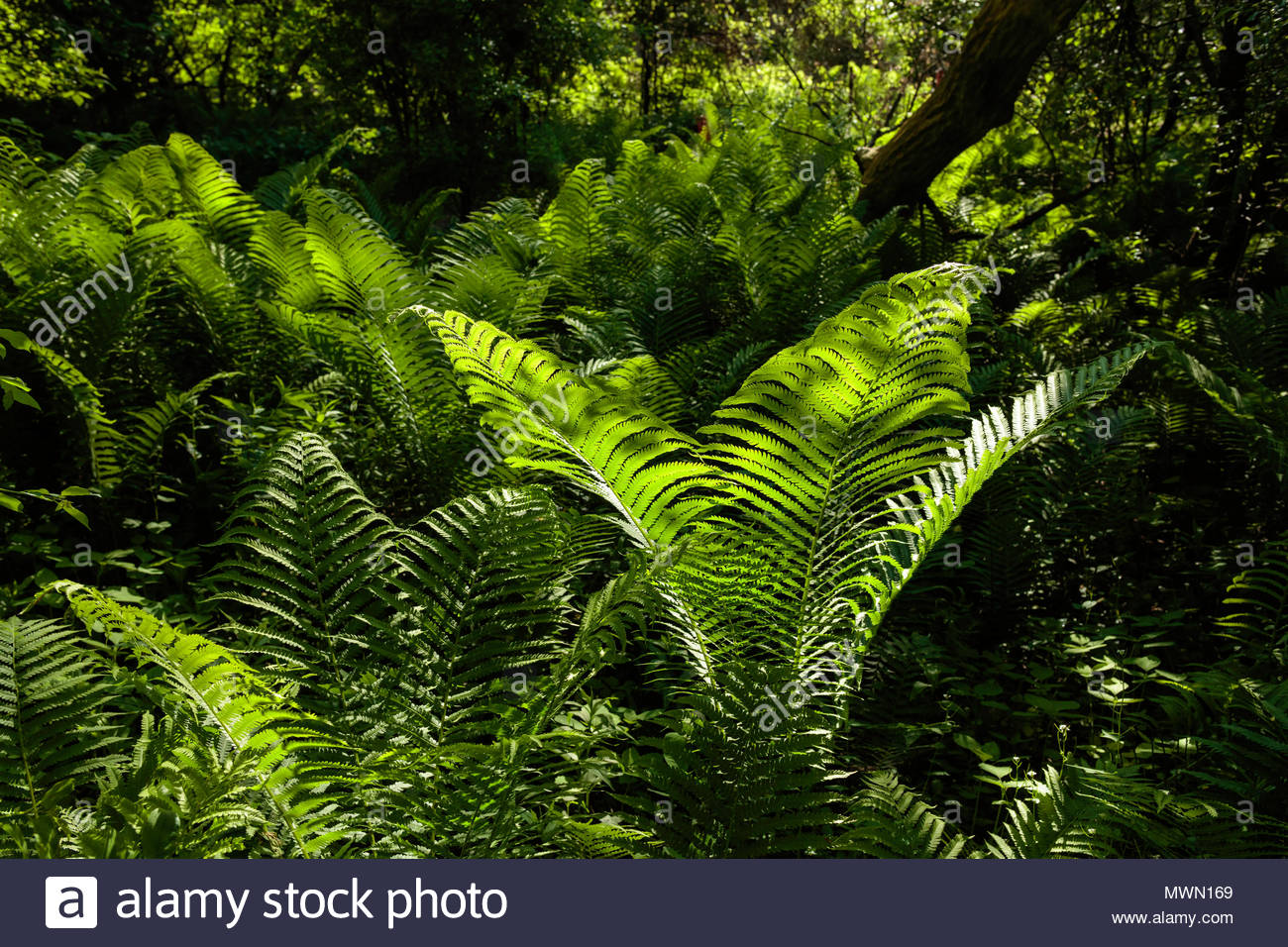 sunlit-fern-in-the-carolinian-forest-in-