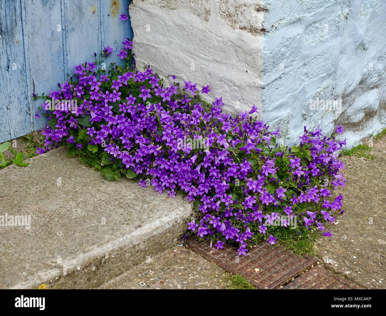 purple-flowering-plantcampanula-portensc