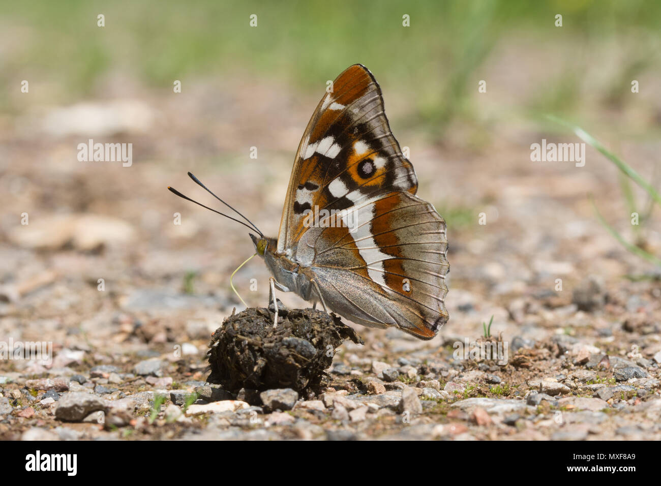 stunning-purple-emperor-butterfly-apatura-iris-collecting-minerals-from-droppings-on-a-woodland-track-in-oaken-wood-chiddingfold-forest-surrey-uk-MXF8A9.jpg