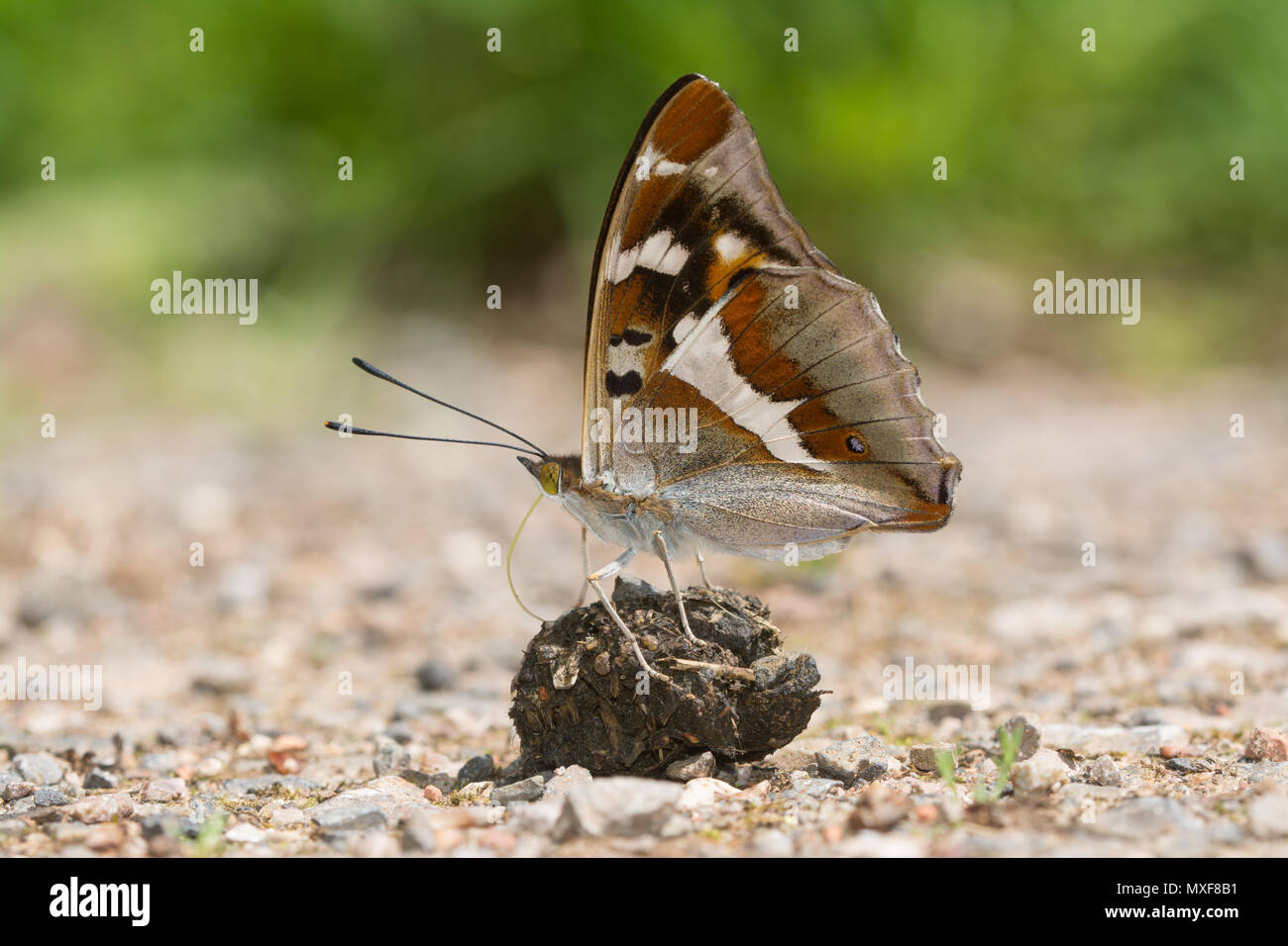 stunning-purple-emperor-butterfly-apatura-iris-collecting-minerals-from-droppings-on-a-woodland-track-in-oaken-wood-chiddingfold-forest-surrey-uk-MXF8B1.jpg