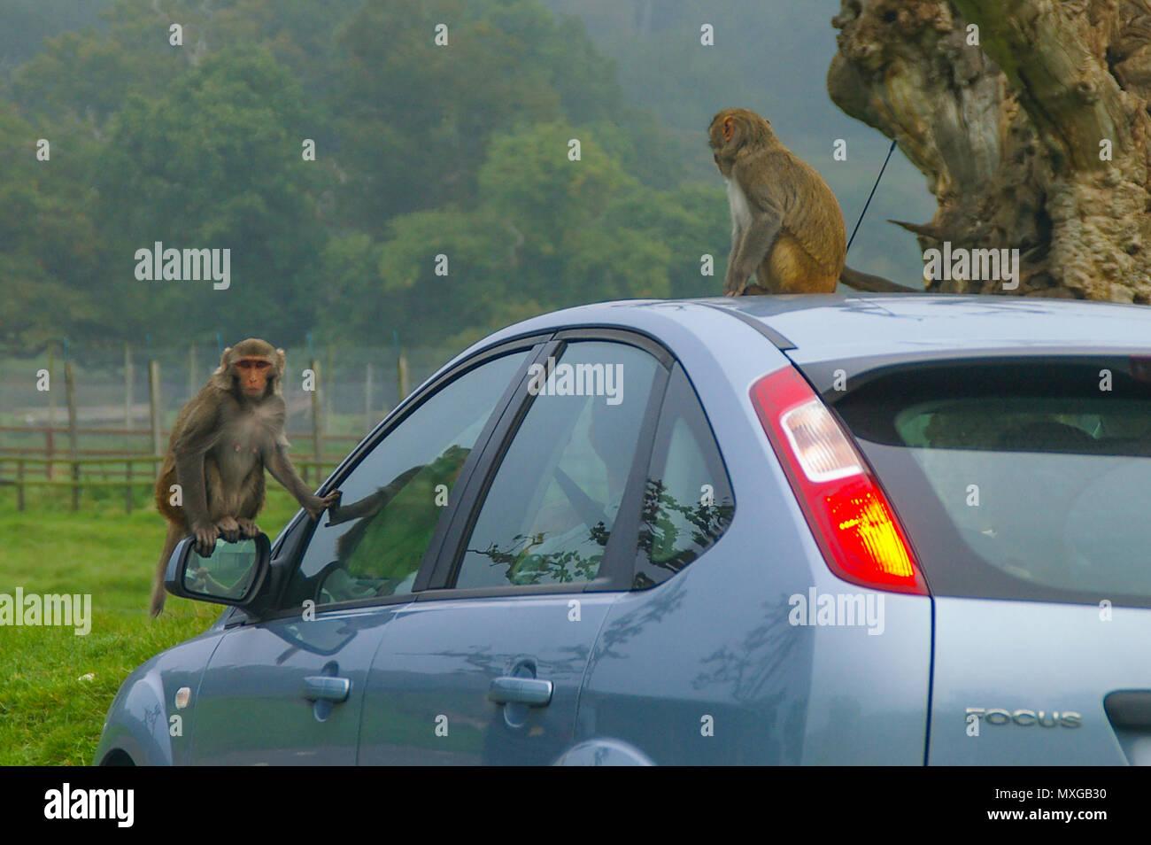 monkeys-on-a-car-in-longleat-safari-park-uk-rhesus-monkeys-riding-on-car-rhesus-macaque-macaca-mulatta-drive-through-safari-park-MXGB30.jpg