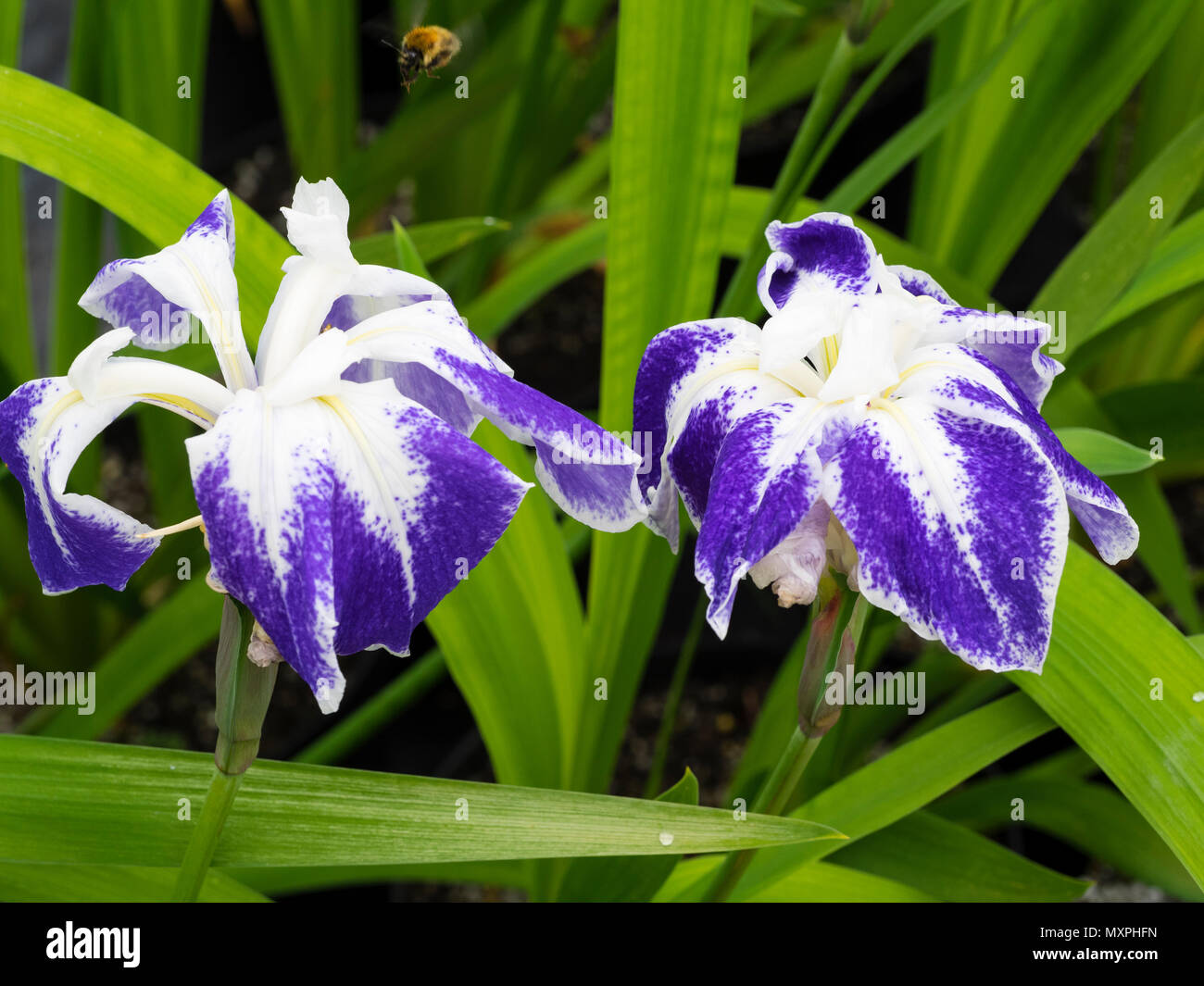 white-and-blue-marked-early-summer-flowers-of-the-marginal-aquatic-water-iris-iris-laevigata-colchesterensis-MXPHFN.jpg