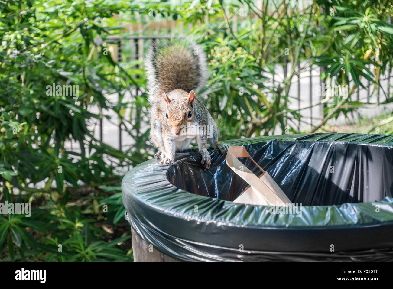 a-squirrel-on-a-rubbish-bin-in-a-public-park-P030TT.jpg