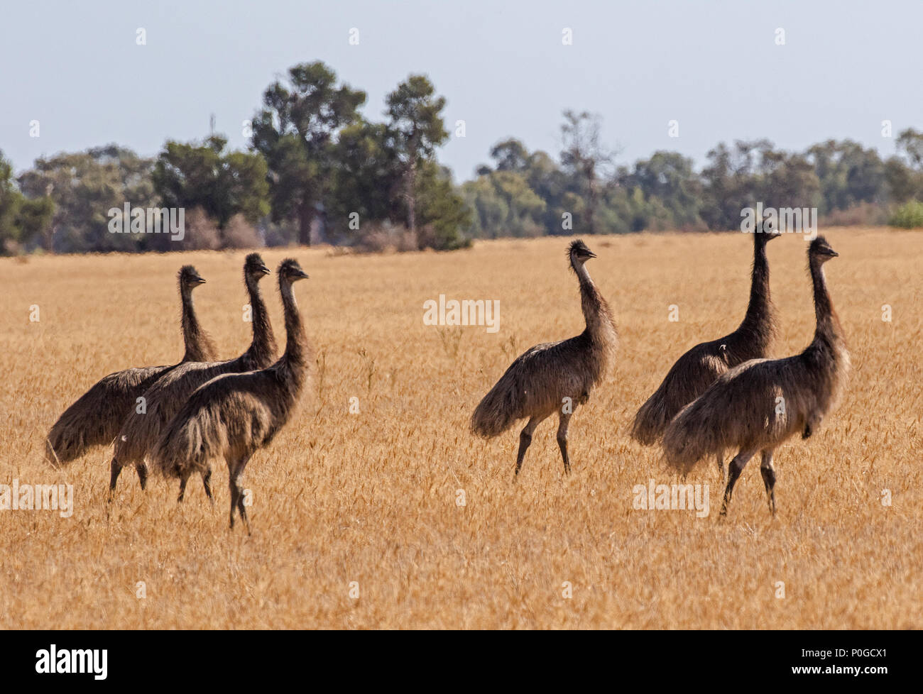 Emu flock Stock Photo