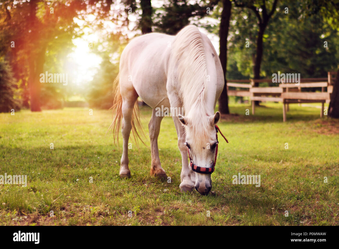 beautiful-white-horse-in-the-summer-fiel