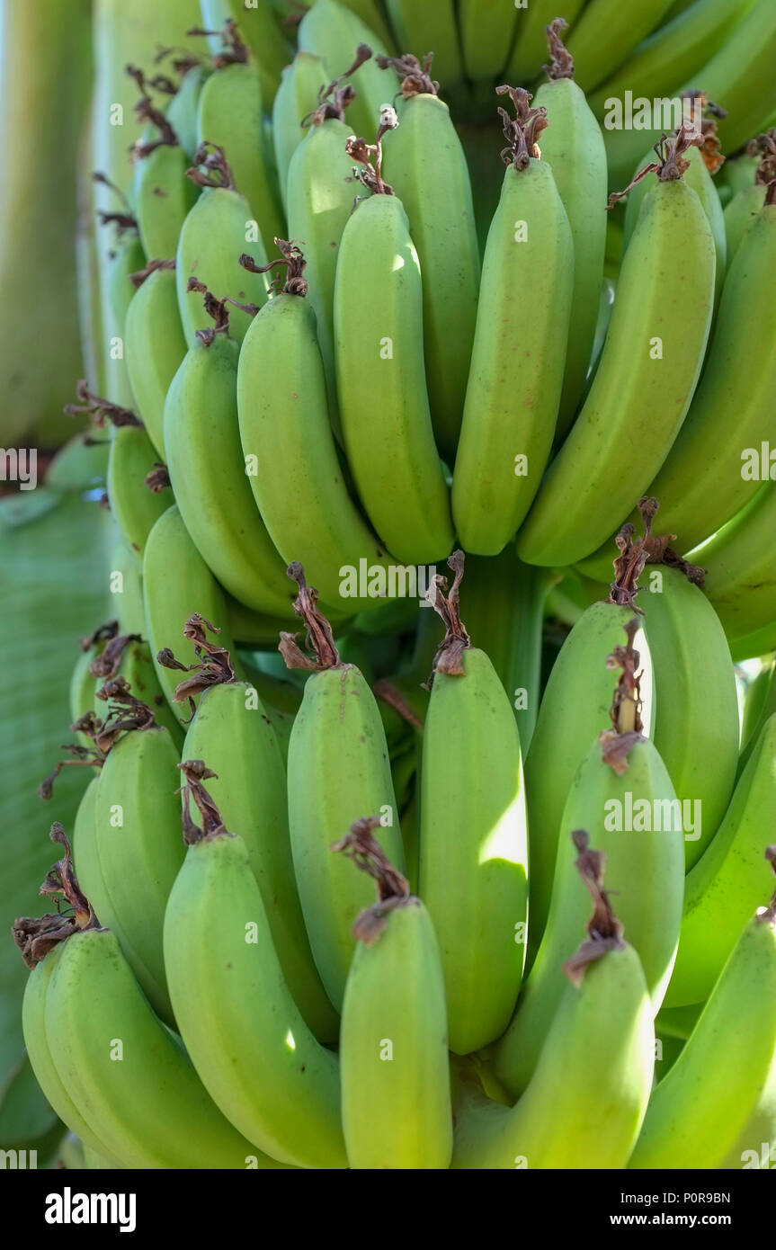 green-organic-bananas-growing-in-a-priva
