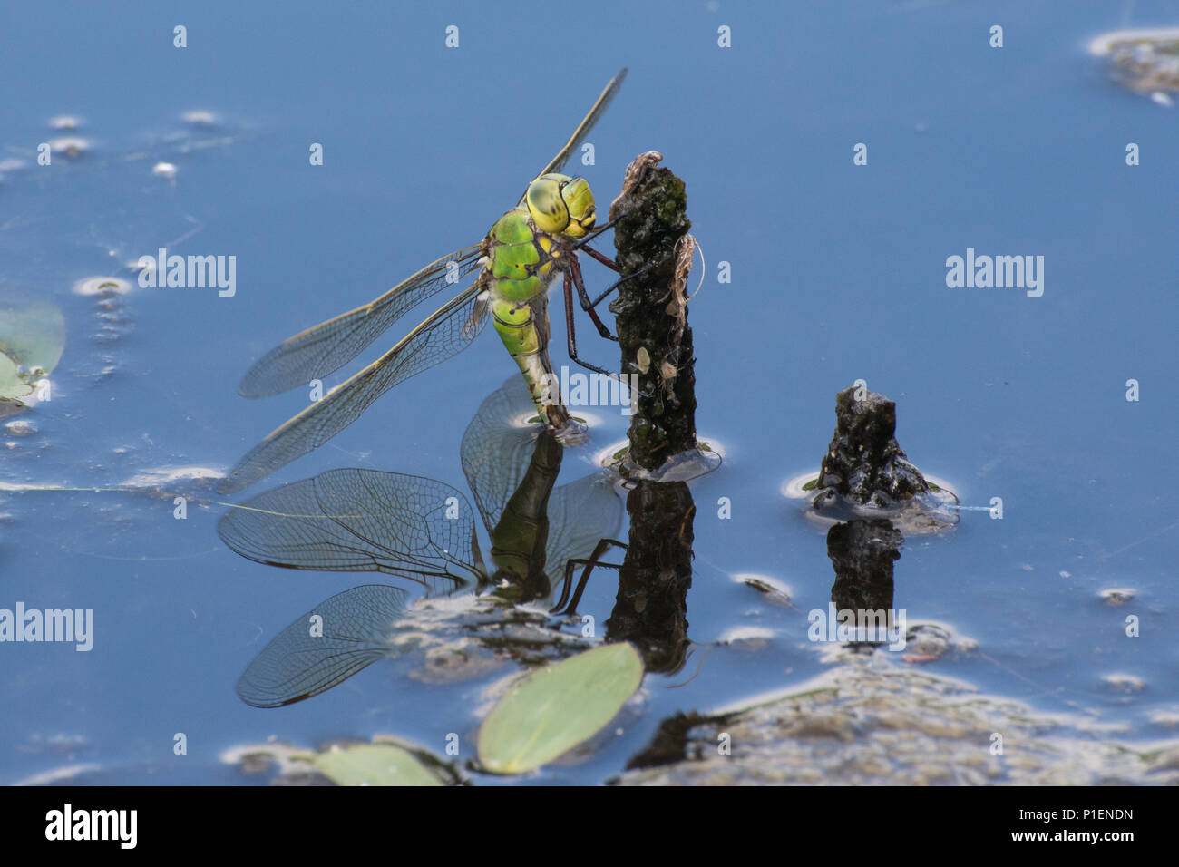 female-emperor-dragonfly-anax-imperator-ovipositing-laying-eggs-in-a-pond-uk-P1ENDN.jpg