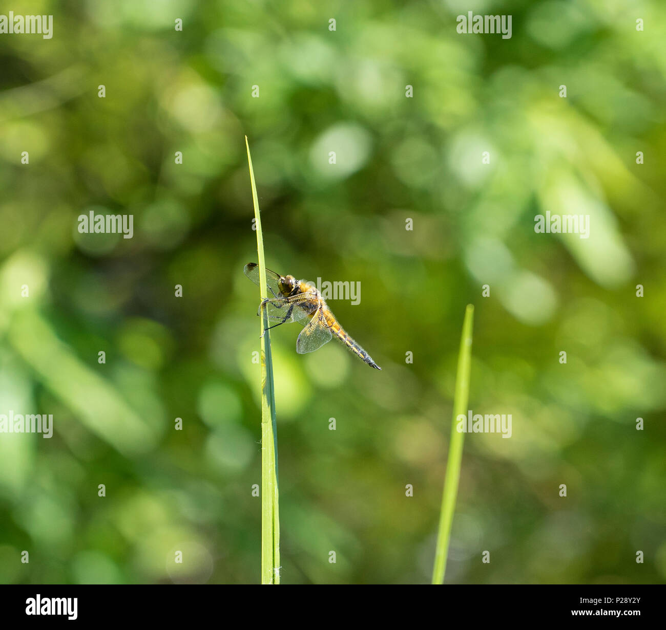 insectdragonfly-on-flag-iris-leaf-P28Y2Y
