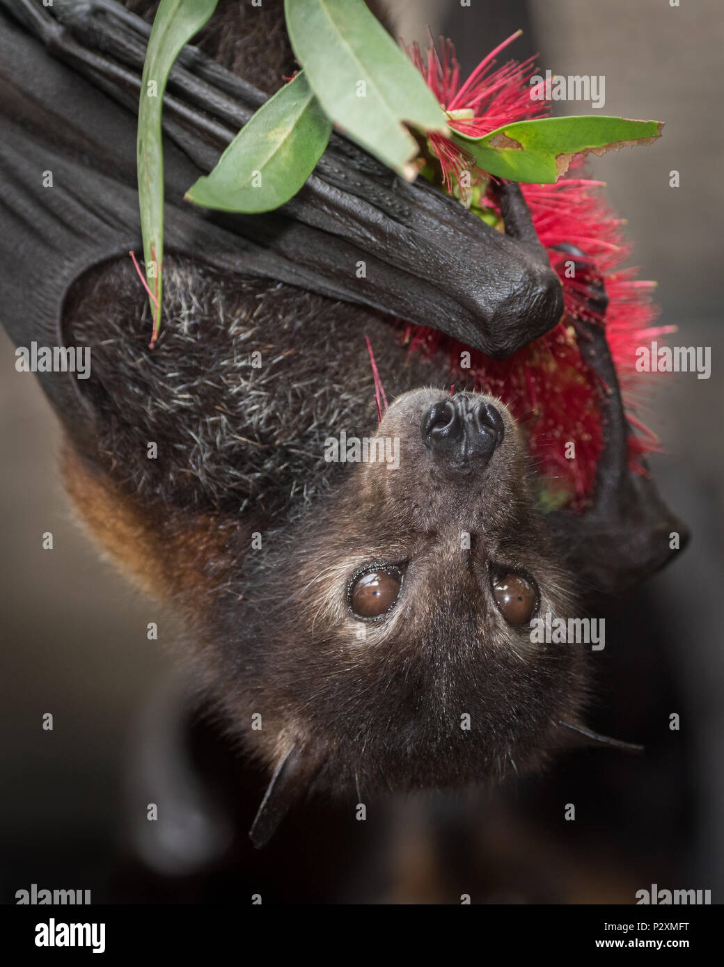 A rescued Black Flying Fox named Xena enjoys bottlebrush at a wildlife rescue centre in Kuranda, Queensland.  Flying foxes are keystone pollinators. Stock Photo