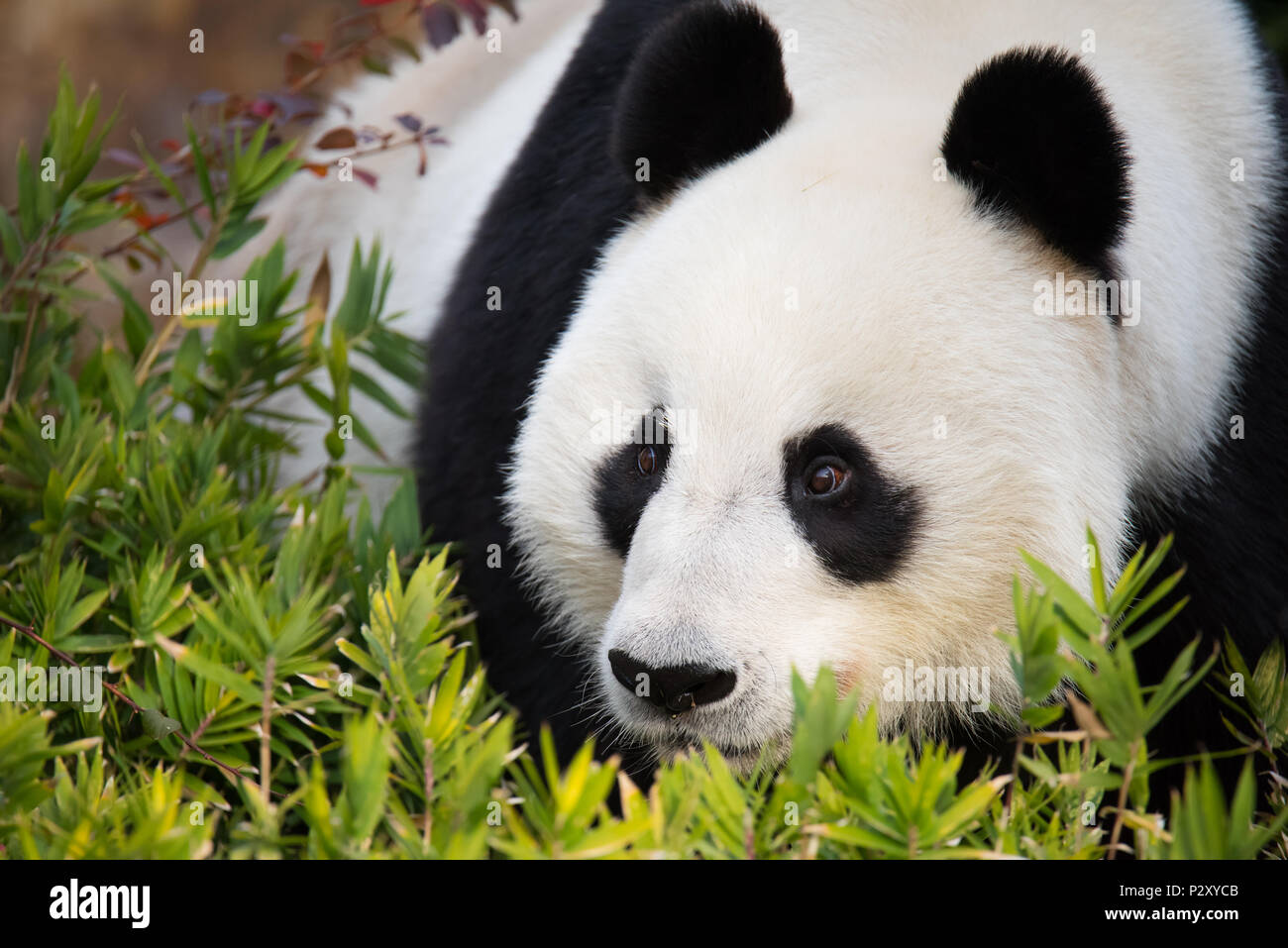 A Giant Panda at a zoo in South Australia, which is one of only two pandas on Australia.  Giant Pandas are vulnerable to extinction in the wild. Stock Photo