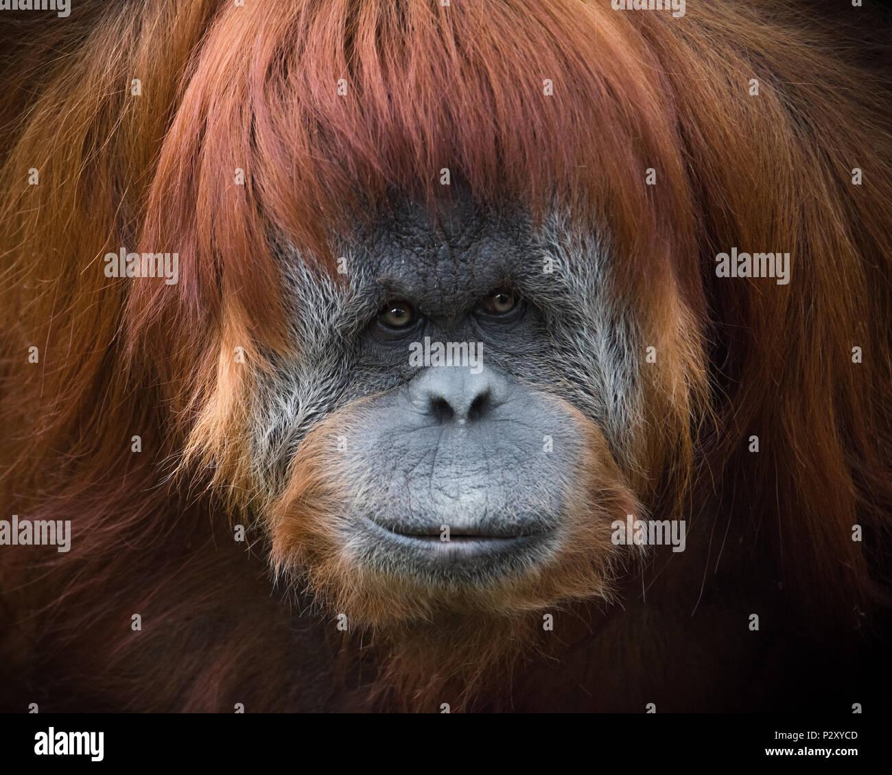 A captive Sumatran Orangutan at a zoo in South Australia.  Sumatran Orangutans are critically endangered due to habitat loss for palm oil plantations. Stock Photo