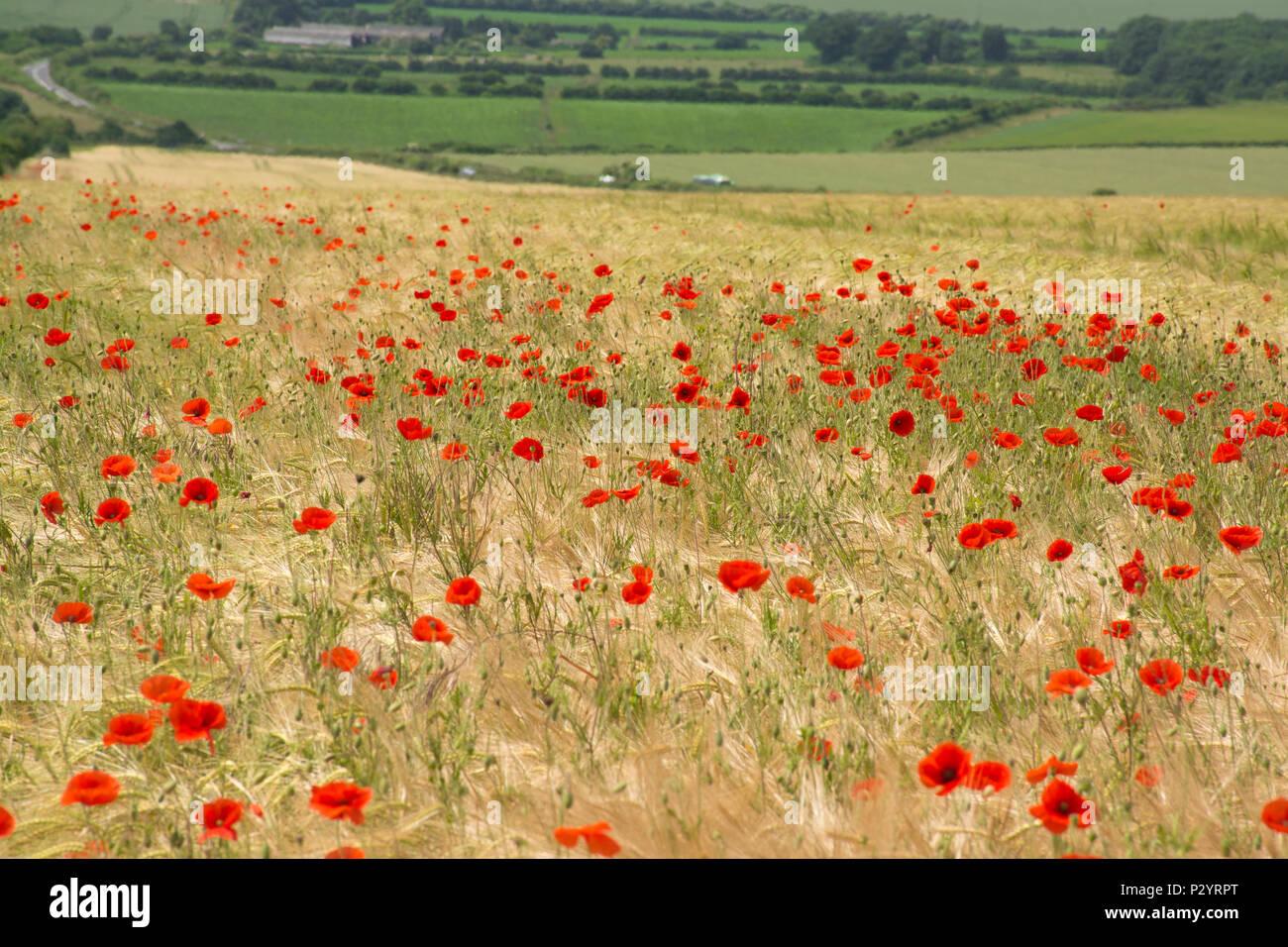 field-of-red-poppies-papaver-rhoeas-dorset-countryside-during-summer-uk-P2YRPT.jpg