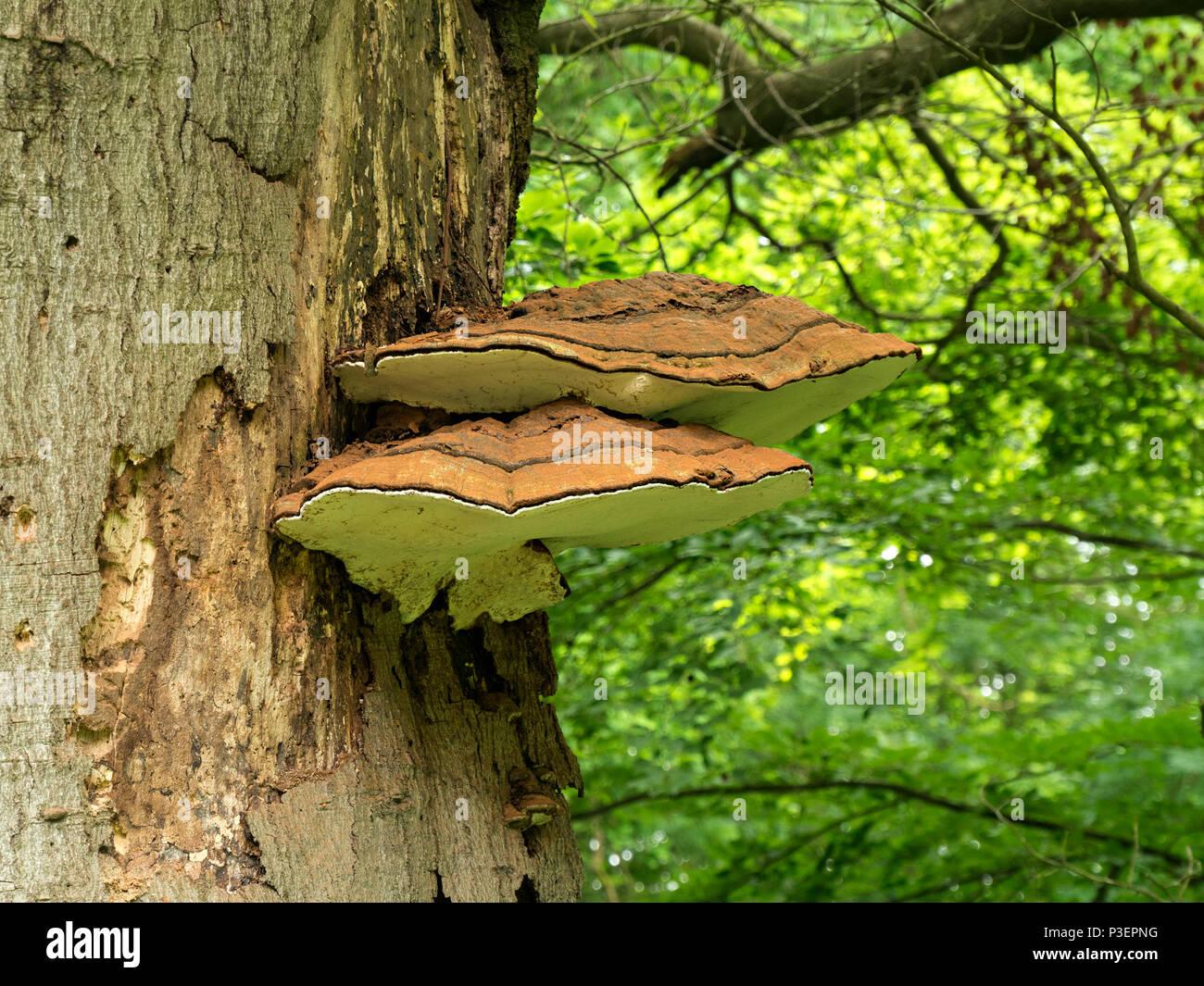 bracket-fungus-growing-on-tree-trunk-P3EPNG.jpg
