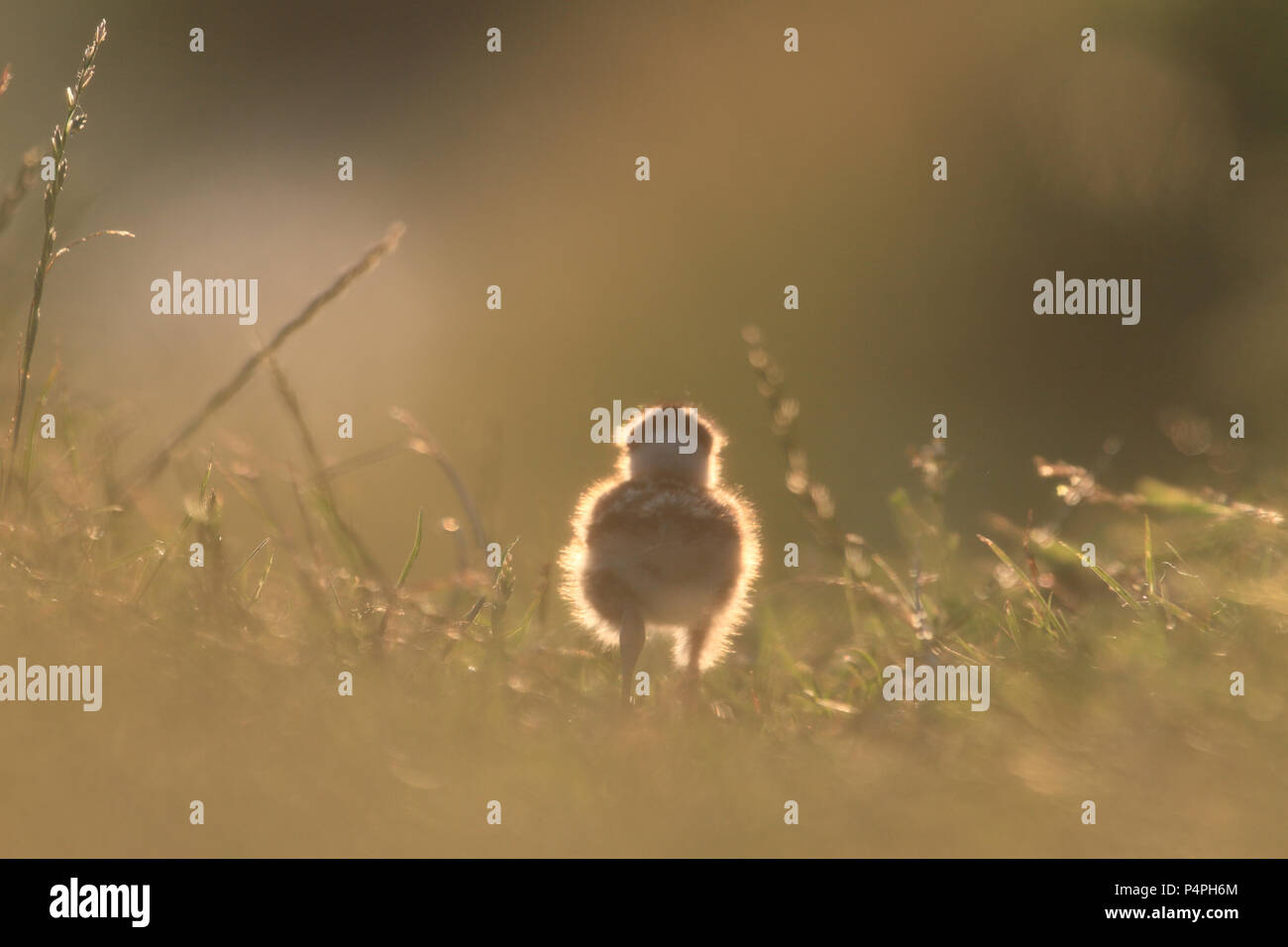 chick-of-northern-lapwing-vanellus-vanel