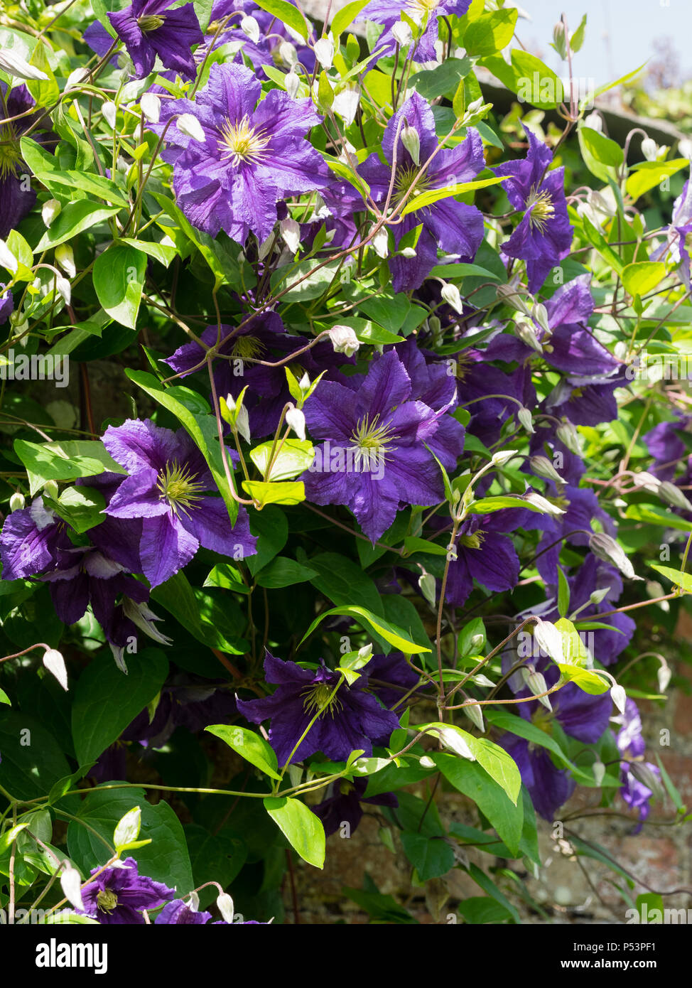 Singe blue-violet summer flowers of the hardy climber, Clematis viticella 'Wisley' Stock Photo