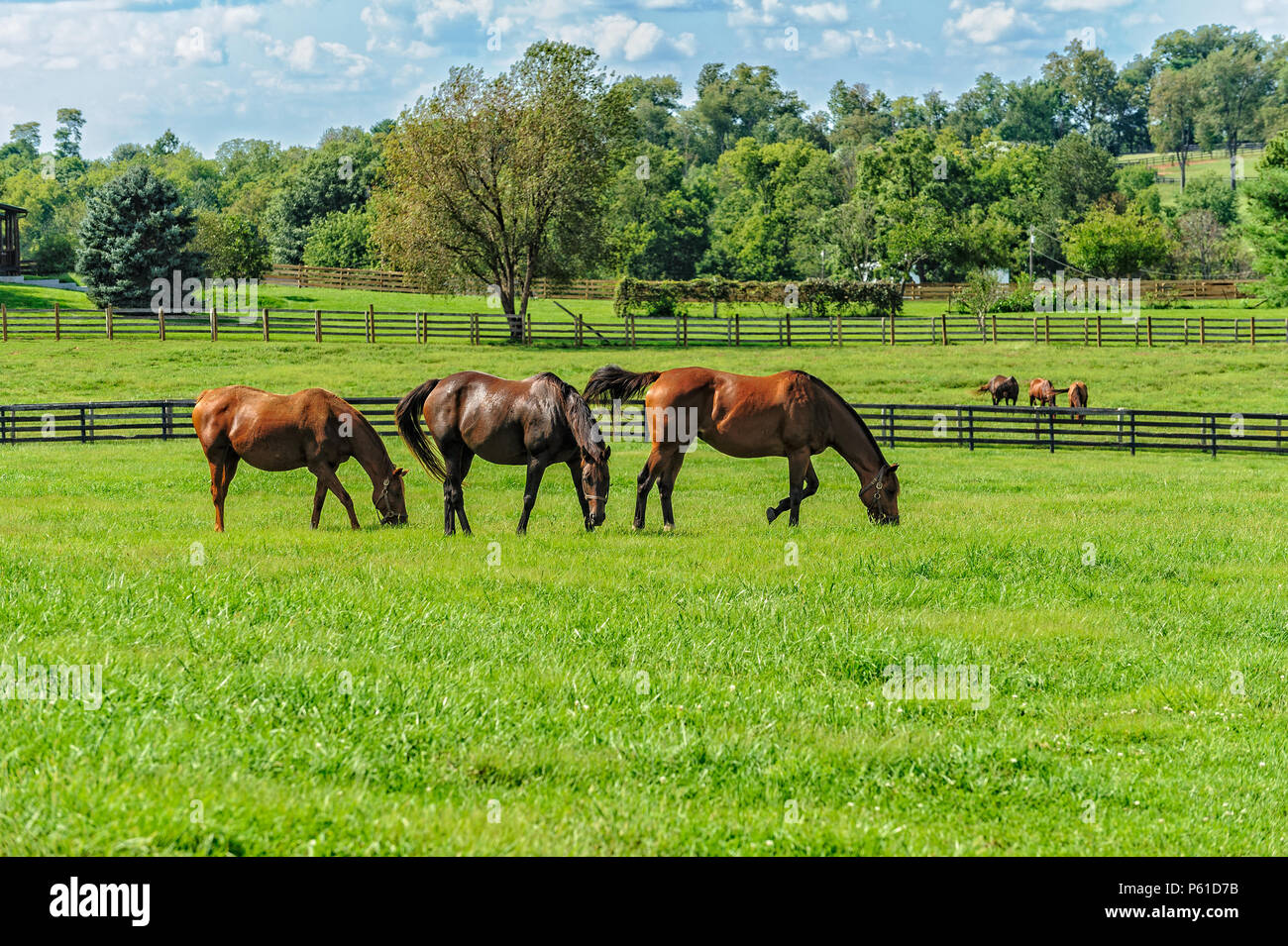 Thoroughbred Horses on a farm in Kentucky Stock Photo