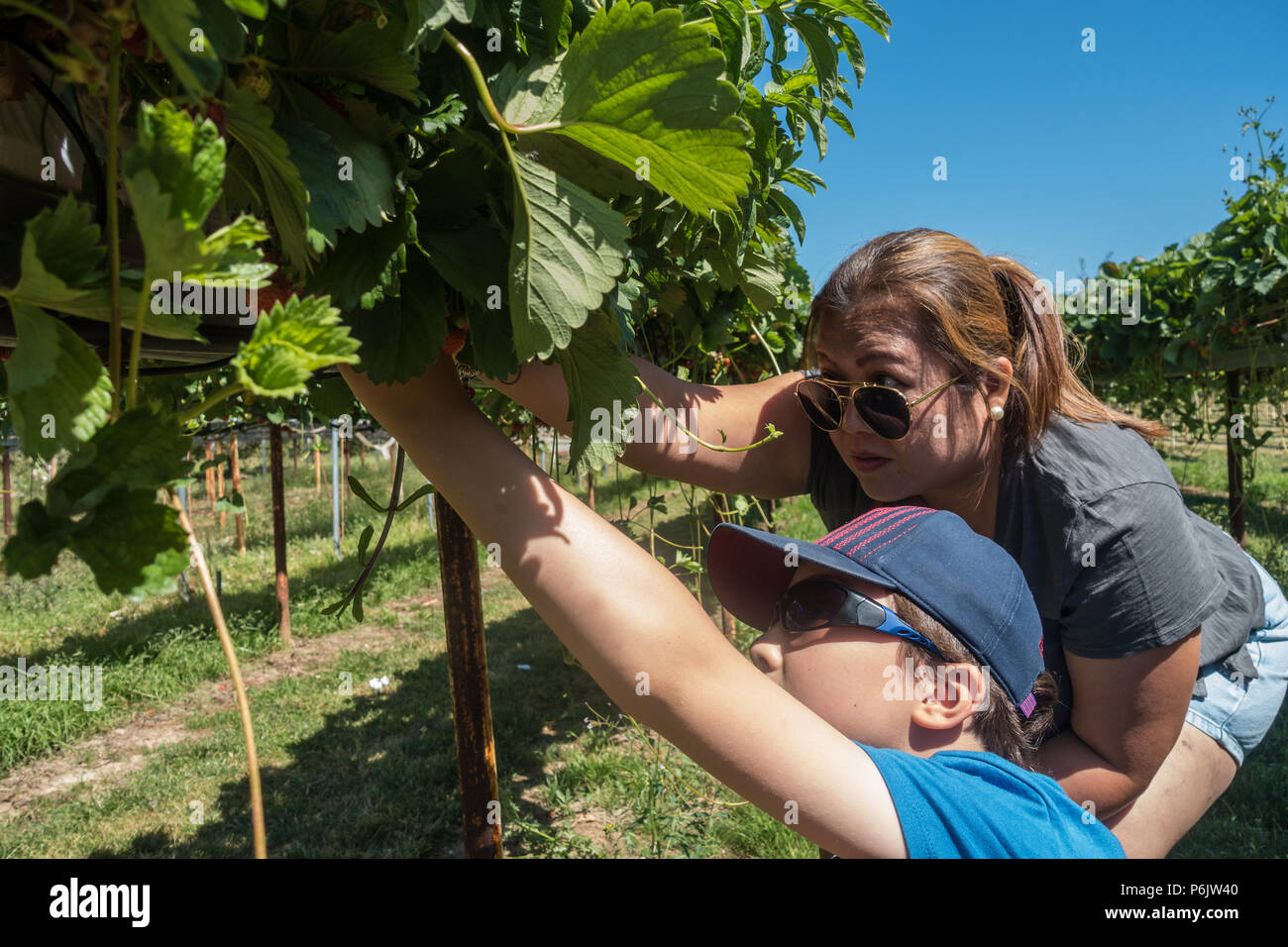 a-mother-and-son-pick-strawberries-on-a-pick-your-own-fruit-farm-P6JW40.jpg