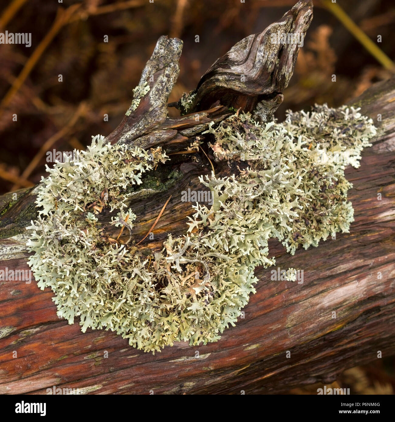lichen-possibly-hypogymnia-physodes-grow