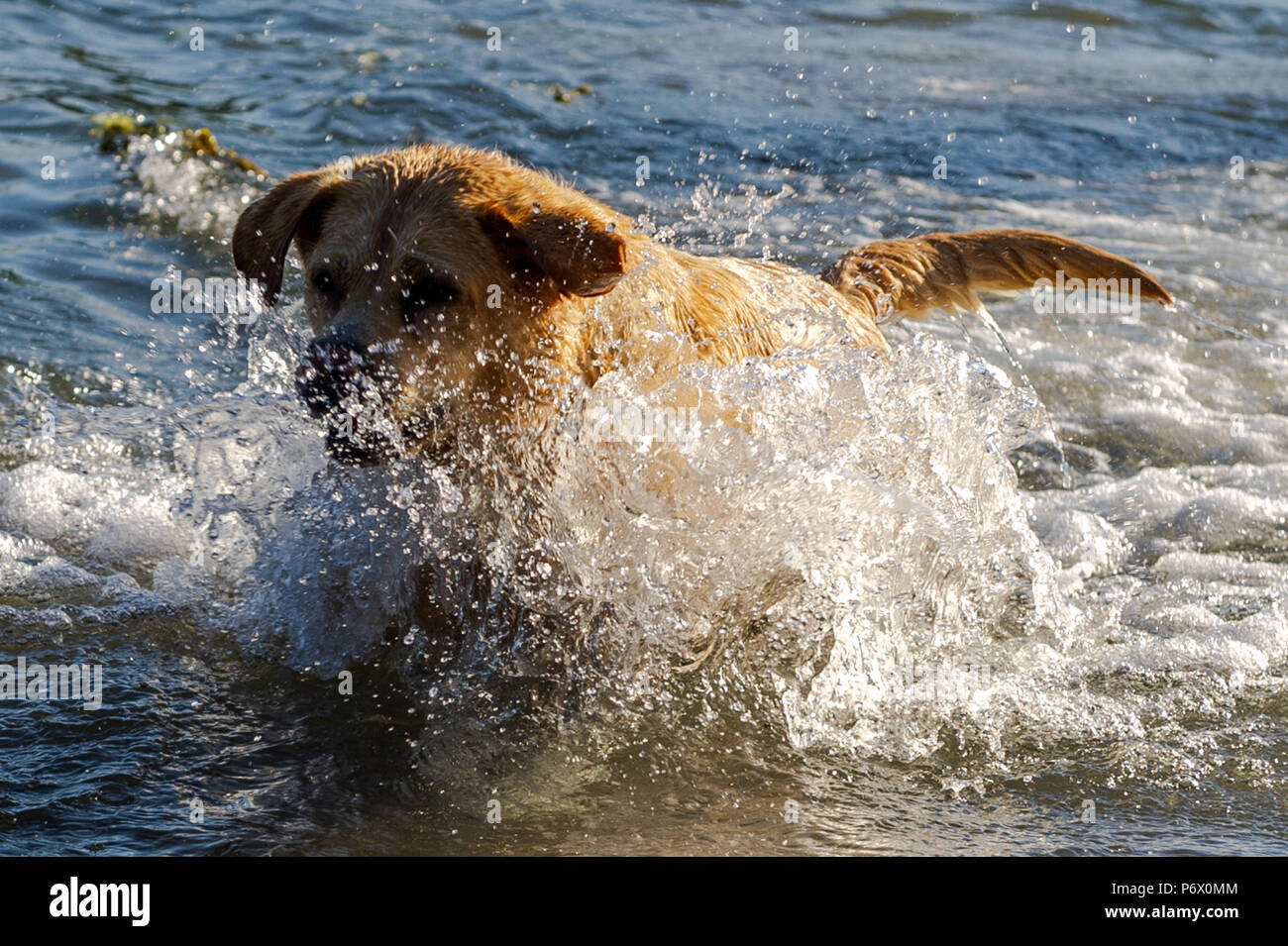 schull-west-cork-ireland-3rd-july-2018-lucy-the-7-year-old-golden-labrador-plays-in-the-sea-this-evening-the-heatwave-shows-no-sign-of-ending-with-temperatures-forecast-to-be-in-the-high-20s-celsius-for-at-least-a-week-credit-andy-gibsonalamy-live-news-P6X0MM.jpg