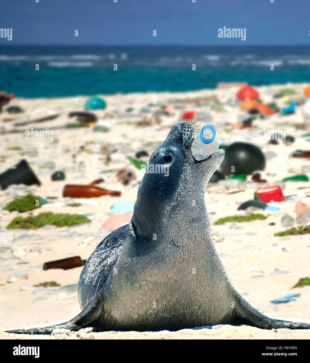 Hawaiian monk seal, Neomonachus schauinslandi, playing with empty plastic bottle on a beach covered with plastic garbage. Stock Photo
