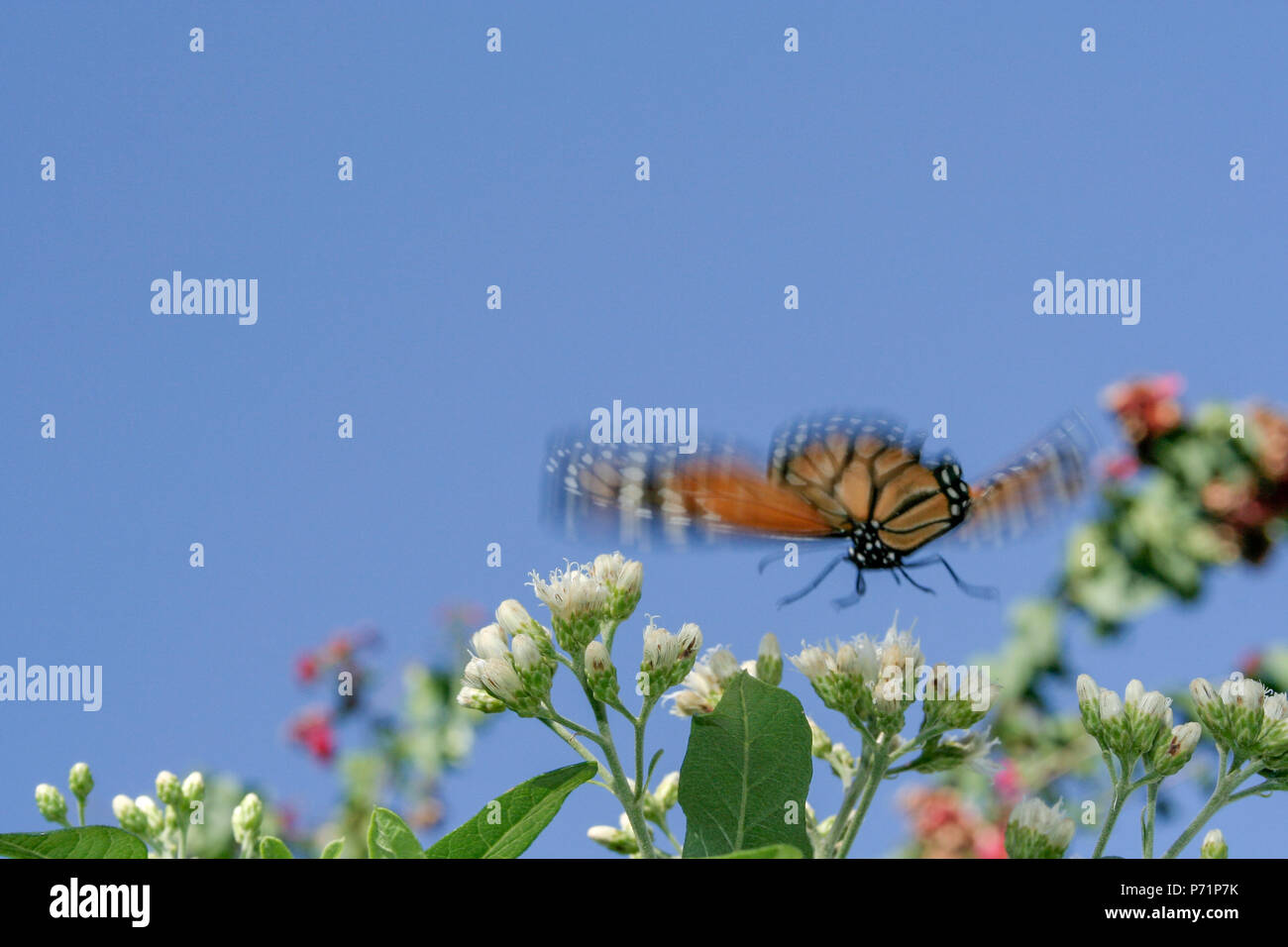A southern monarch (Danaus erippus) butterfly flies over a bitterleaf tree (Gymnanthemum extensum) flowers, Asuncion, Paraguay Stock Photo