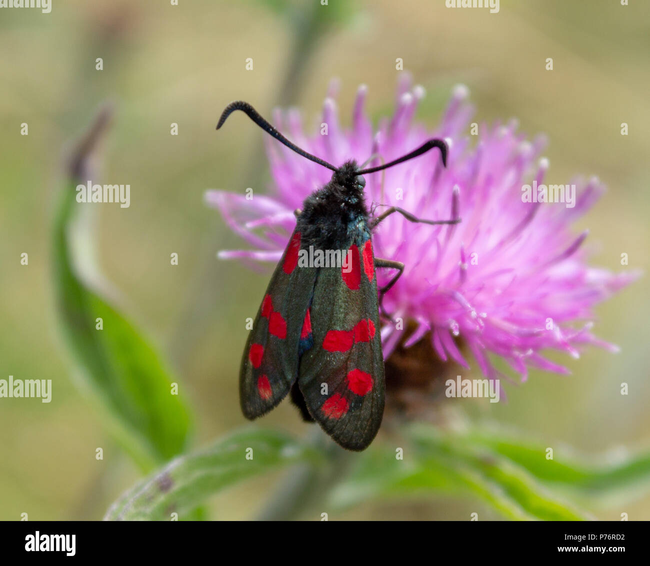 zygaena-filipendulae-6-spotted-burnet-moth-feeding-on-a-clover-flower-P76RD2.jpg