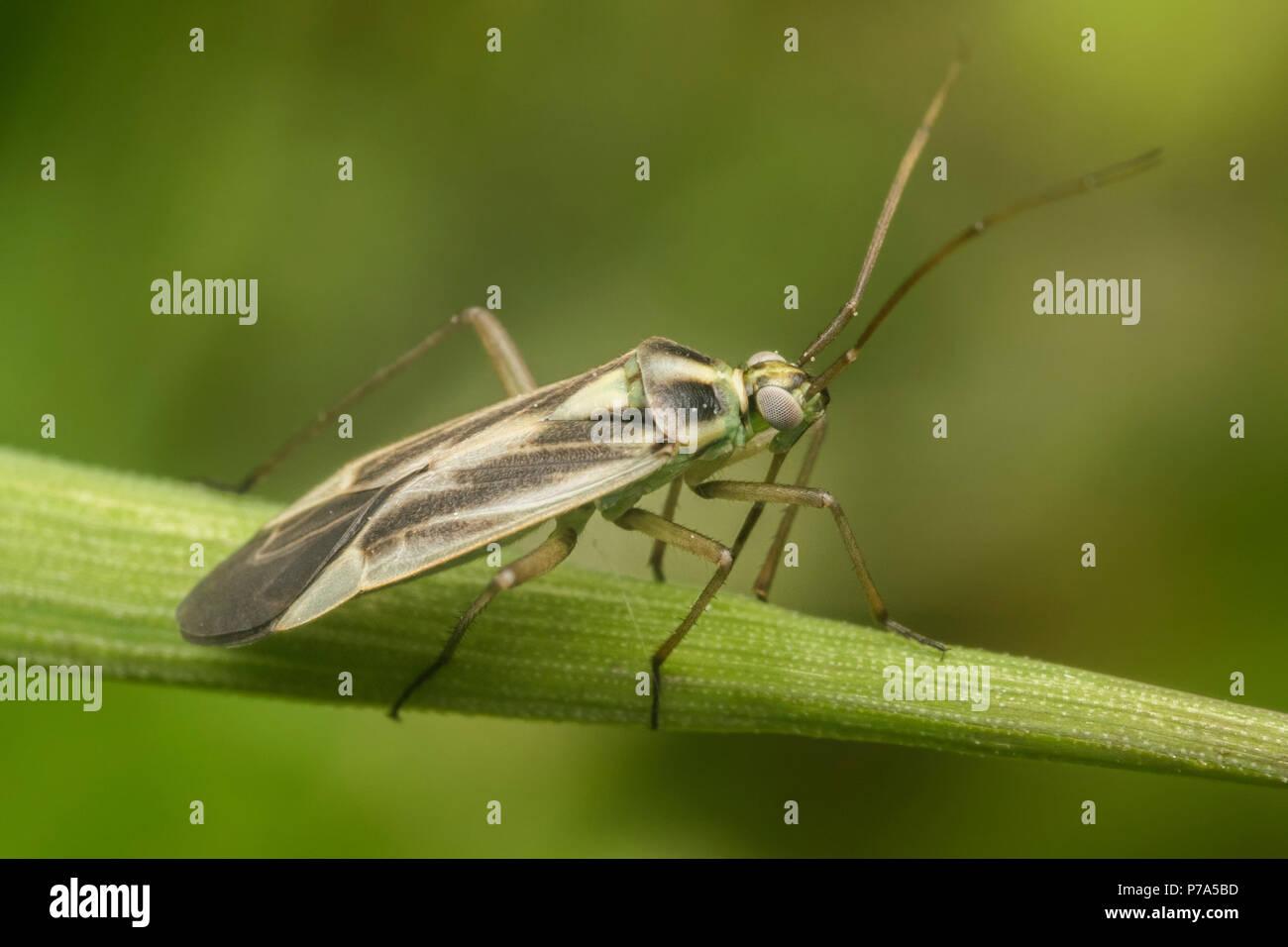 stenotus-binotatus-mirid-bug-resting-on-plant-stem-tipperary-ireland-P7A5BD.jpg