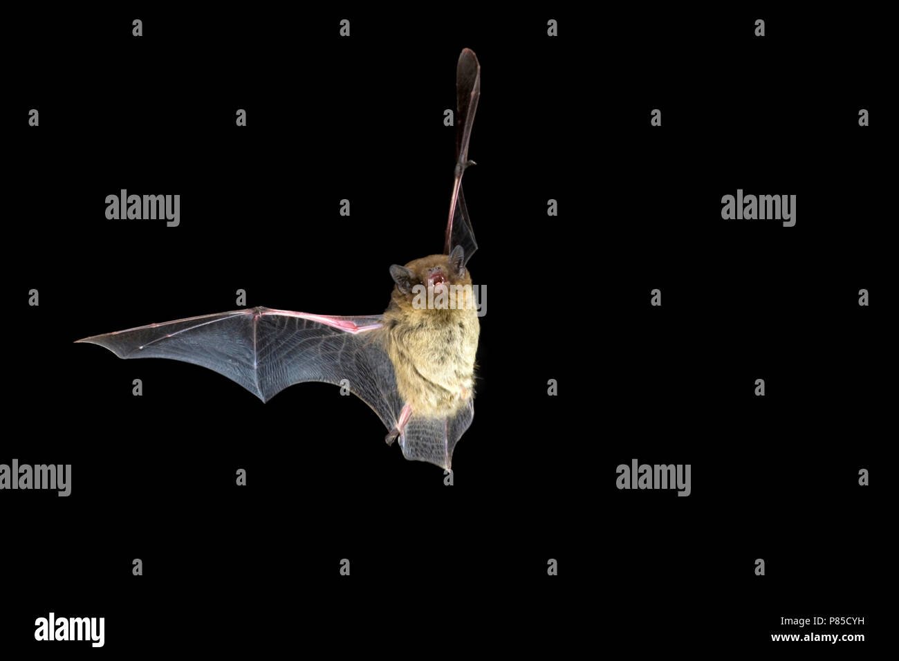 Ruige Dwergvleermuis in de vlucht; Nathusius Pipistrelle in flight Stock Photo
