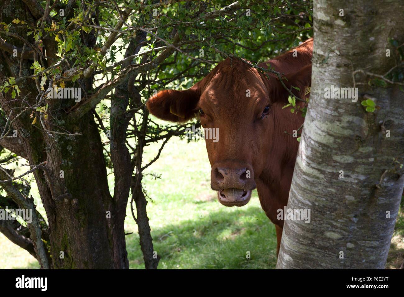 smiling-cow-llanllyfni-gwynedd-P8E2YT.jpg