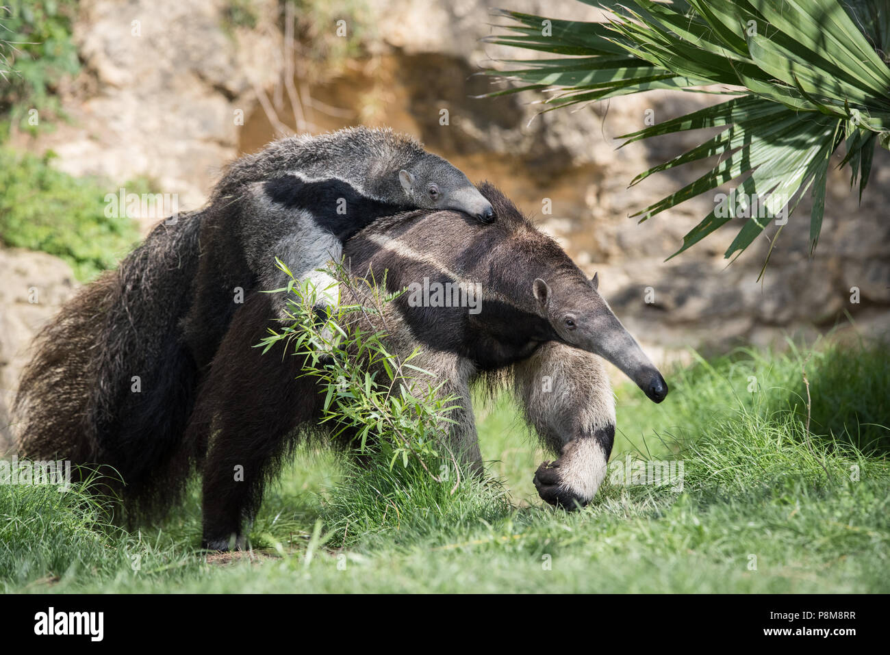A Giant Anteater carries its baby at a zoo in Texas.  Native to Central and South America, Giant Anteaters are vulnerable to extinction in the wild. Stock Photo