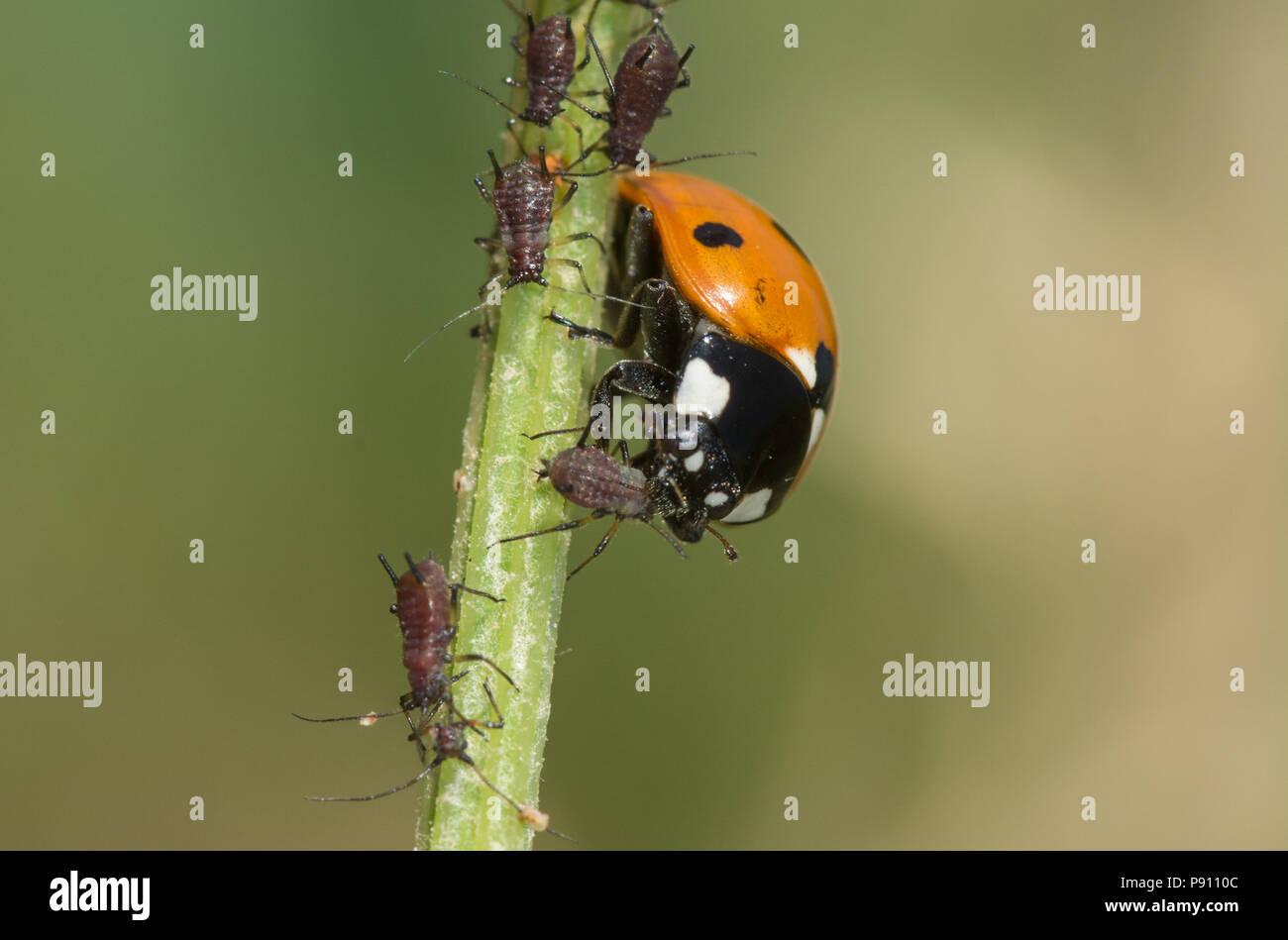 seven-spot-ladybird-coccinella-septempunctata-feeding-on-an-aphid-on-a-plant-stem-P9110C.jpg