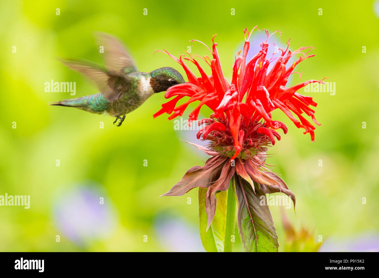 a-male-ruby-throated-hummingbird-archilochus-colubris-feeding-at-monarda-or-bee-balm-in-a-garden-in-speculator-ny-usa-P915K2.jpg