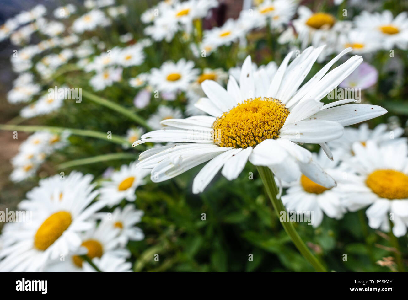 yellow-and-white-oxeye-daisy-flowers-P98KAY.jpg