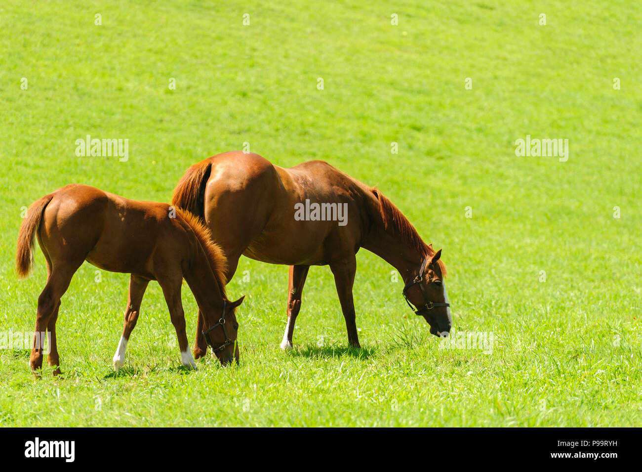 horses-grazing-on-kentucky-horse-farm-P99RYH.jpg