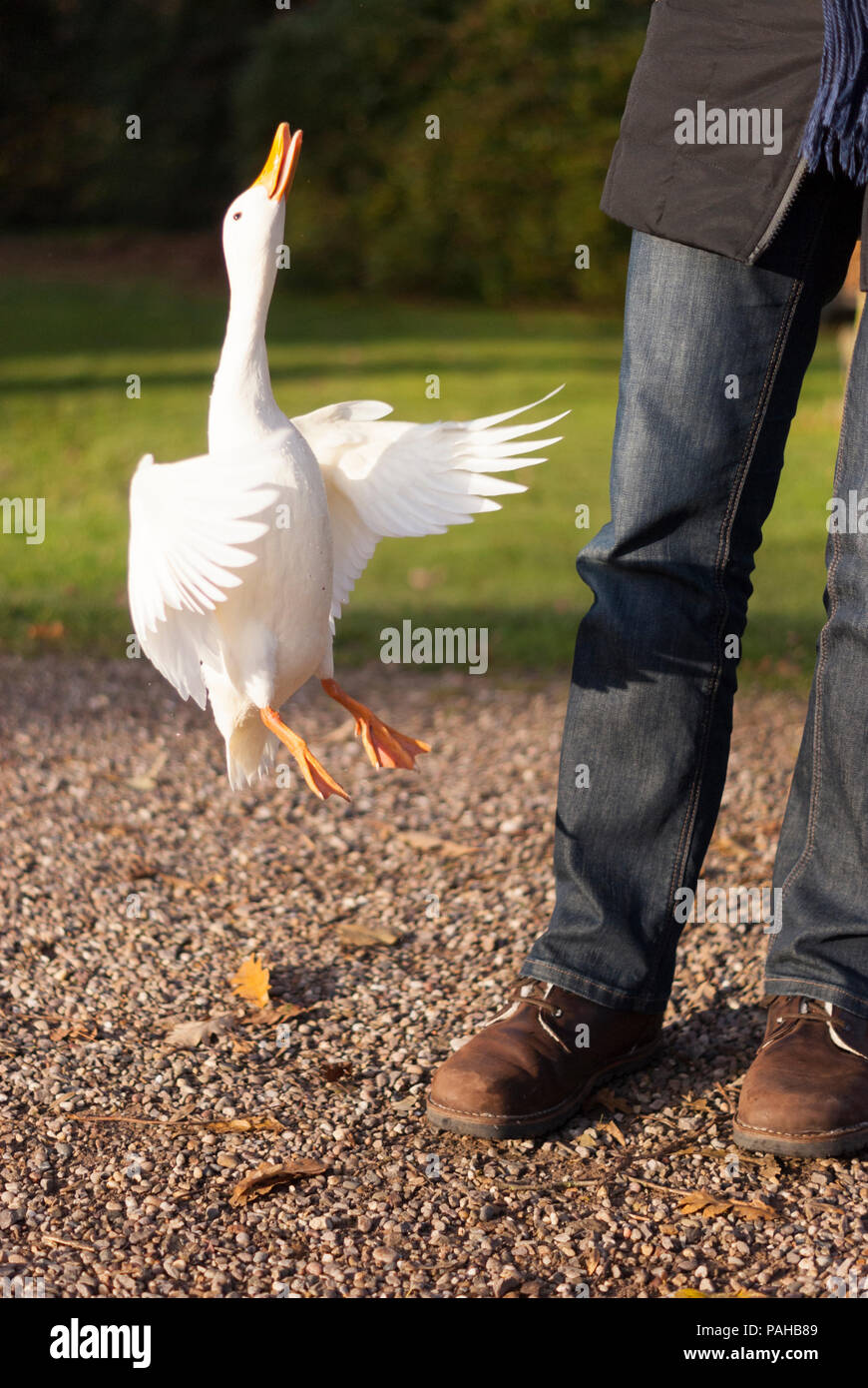 a-white-pekin-duck-anas-platyrhynchos-th