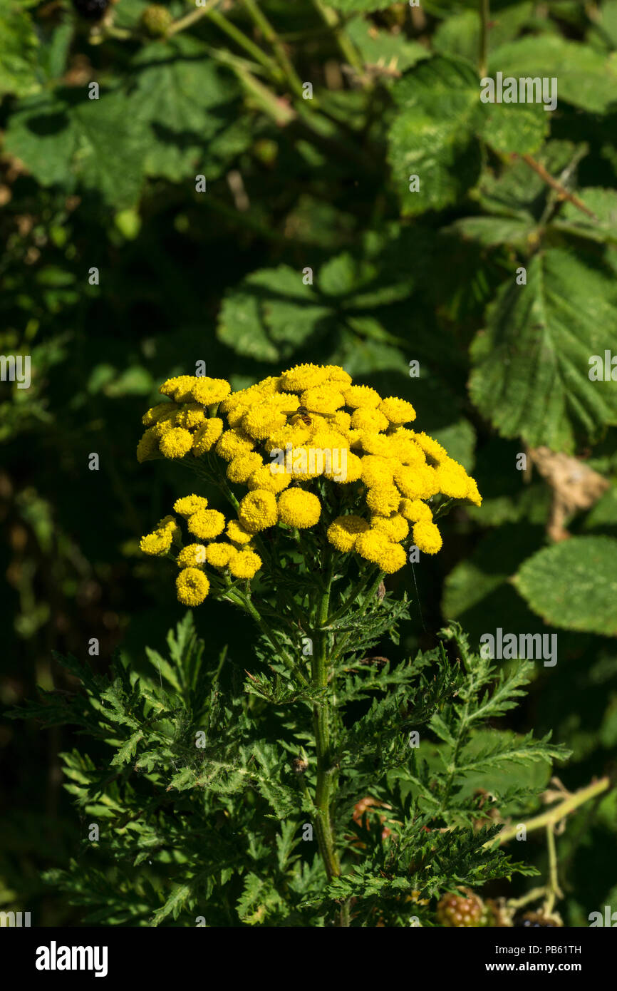Tansy in bloom Stock Photo