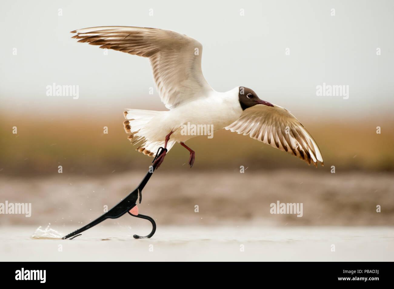Black headed gull (Chroicocephalus ridibundus) taking off with foot caught in discarded coat hanger, Lake Csaj, Kiskunsagi National Park, Pusztaszer, Hungary. May. Stock Photo