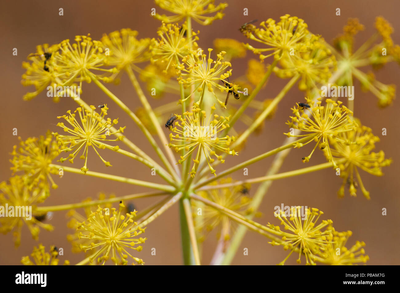 deadly-carrot-thapsia-garganica-yellow-f