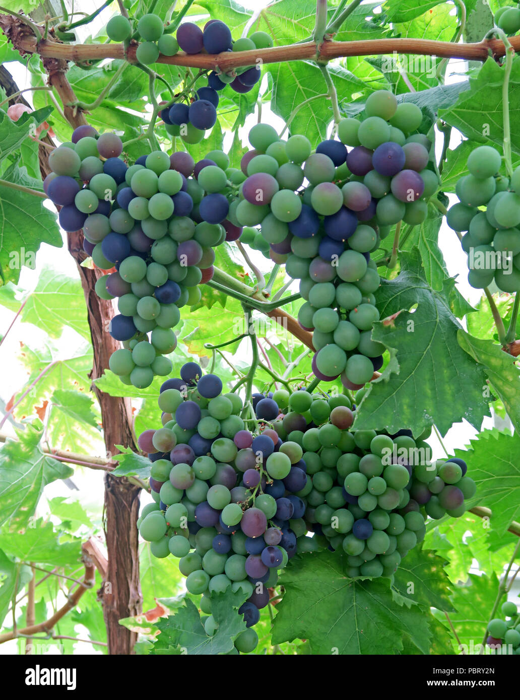 GoTonySmith,@HotpixUK,vine,grape,grapes,hanging,Grappenhall Heys,grapes for wine,wine,vineyard,Cheshire,North West England,UK,North West,England,Vitis,vinifera,green grapes,black grapes,ripe,lush,berry,grape berry,domesticated grape,domesticated grapes,domestic grapes,purple grapes,grape clusters,food,fruit,fruits,cultivated grapes,seedless grapes,seeded grapes,table grapes,wine grapes,secret walled garden,Grape and raisin toxicity in dogs
