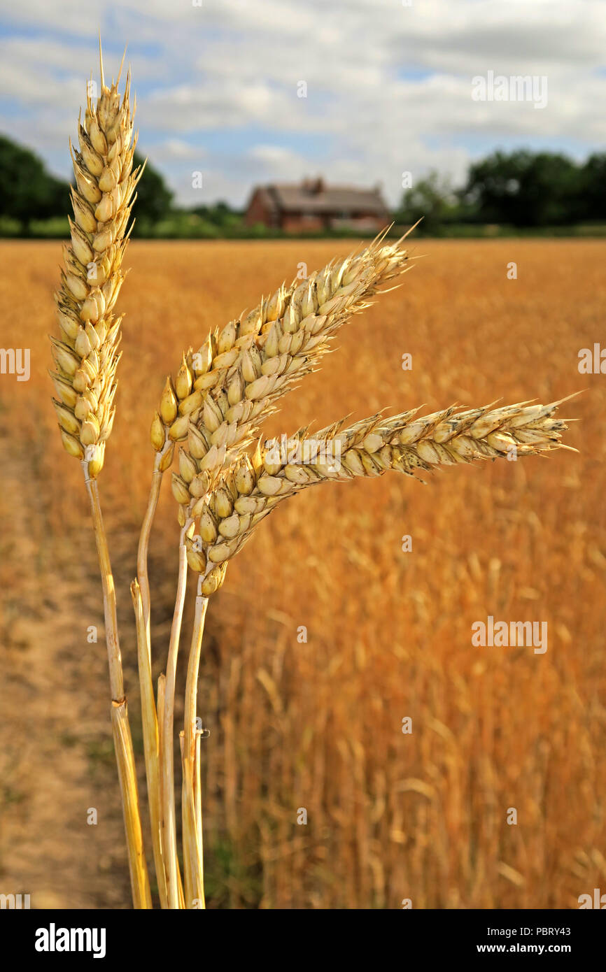 GoTonySmith,@HotpixUK,golden,gold,grain,cereal,Barley ears,field,Grappenhall,Warrington,North West England,UK,farmer,farm,farming,arable,harvest,summer harvest,grass,grasses,Hordeum vulgare,Brexit,food,under threat,farming under threat,British farming under threat,NFU,animal fodder,brew,brewing,fermentation,health foods,foods,carbohydrate,barley grains,barley grain,barley seeds,grass family,agricultural subsidies,CAP,Common Agricultural Policy,food prices,domesticated barley