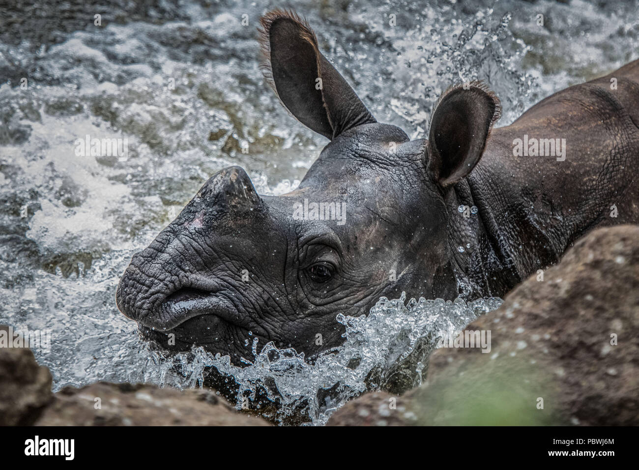 Edinburgh, UK    July  30 2018; A  young greater one-horned rhinoceros has arrived at RZSS Edinburgh, UK Zoo. Qabid, a two-and-a-half-year-old male around half the size of a fully grown rhino will play vital role in the conservation breeding programme for the species.  credit steven scott taylor / alamy live news Stock Photo