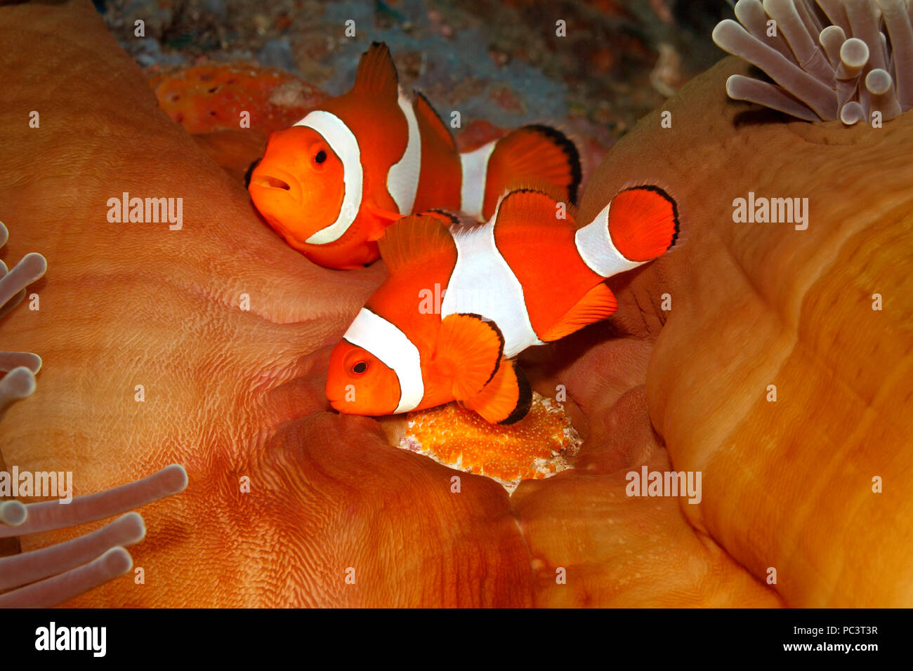 pair-of-clown-anemonefish-amphiprion-per