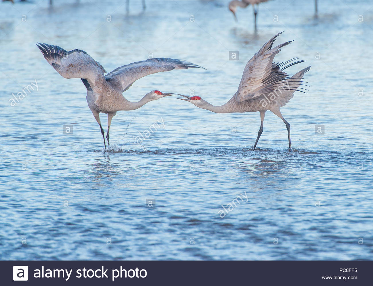 Dancing sandhill cranes in a river Stock Photo