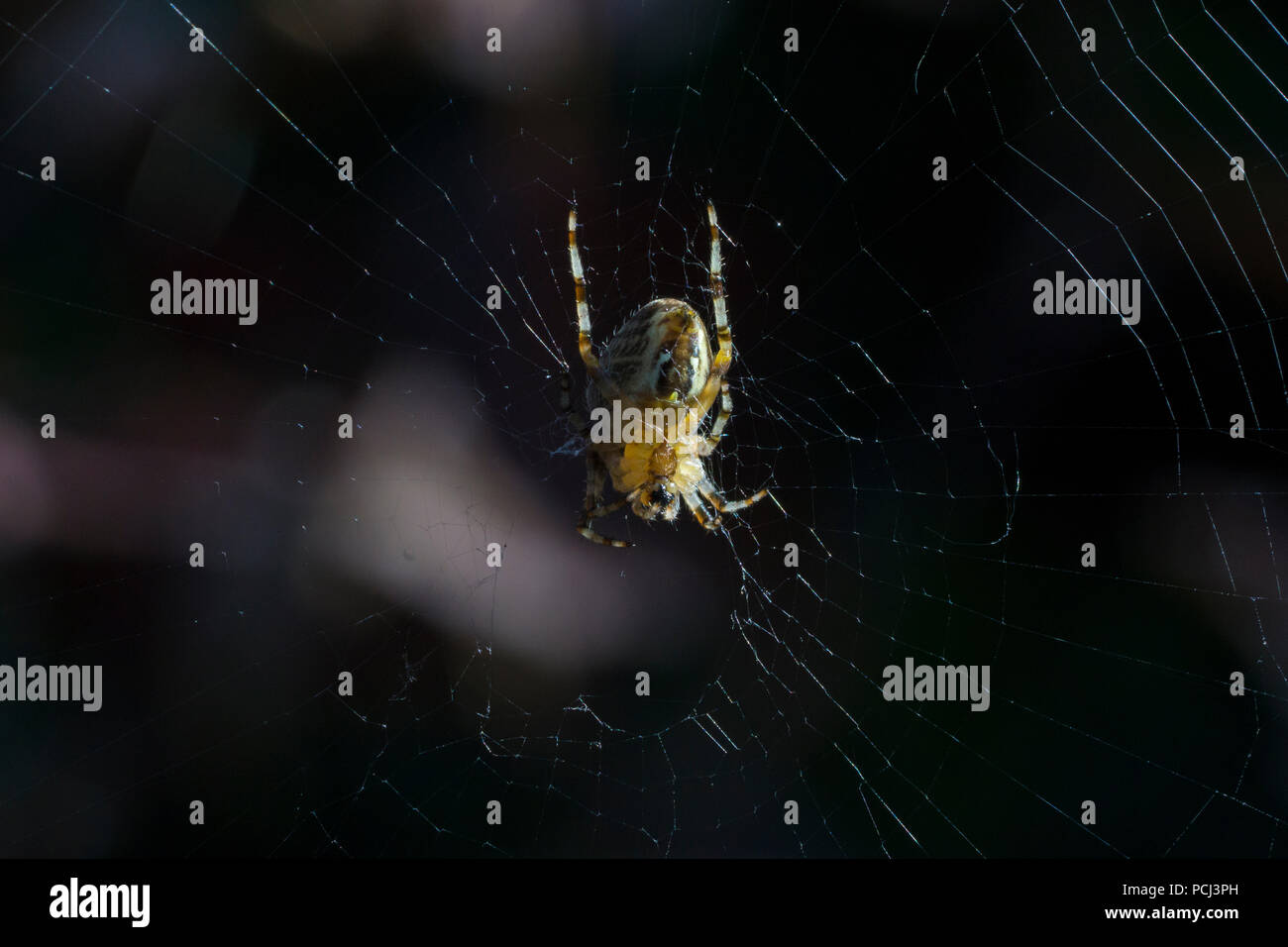 garden-spider-mending-web-PCJ3PH.jpg