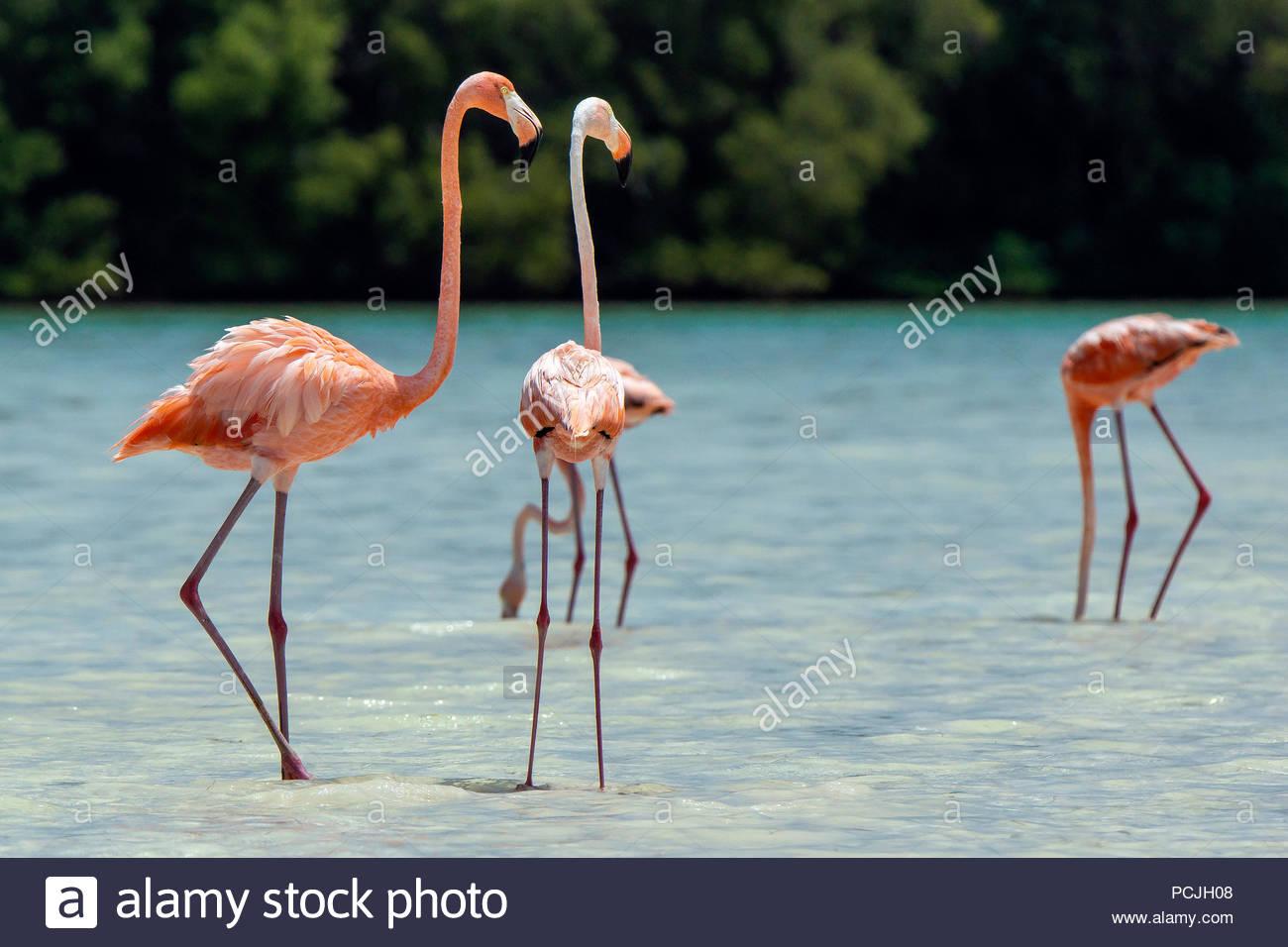 american-pink-flamingo-phoenicopterus-ru