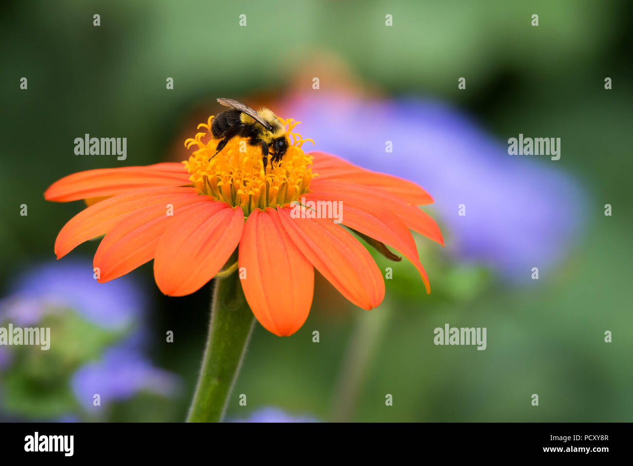 A Common Eastern Bumble Bee feeds on a red aka Mexican sunflower at the popular Rosetta McClain Gardens near Toronto, Ontario.Stock Photo